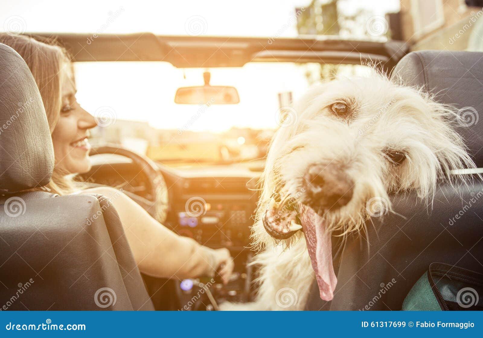 La mujer y su labradoodle persiguen la conducción con el coche