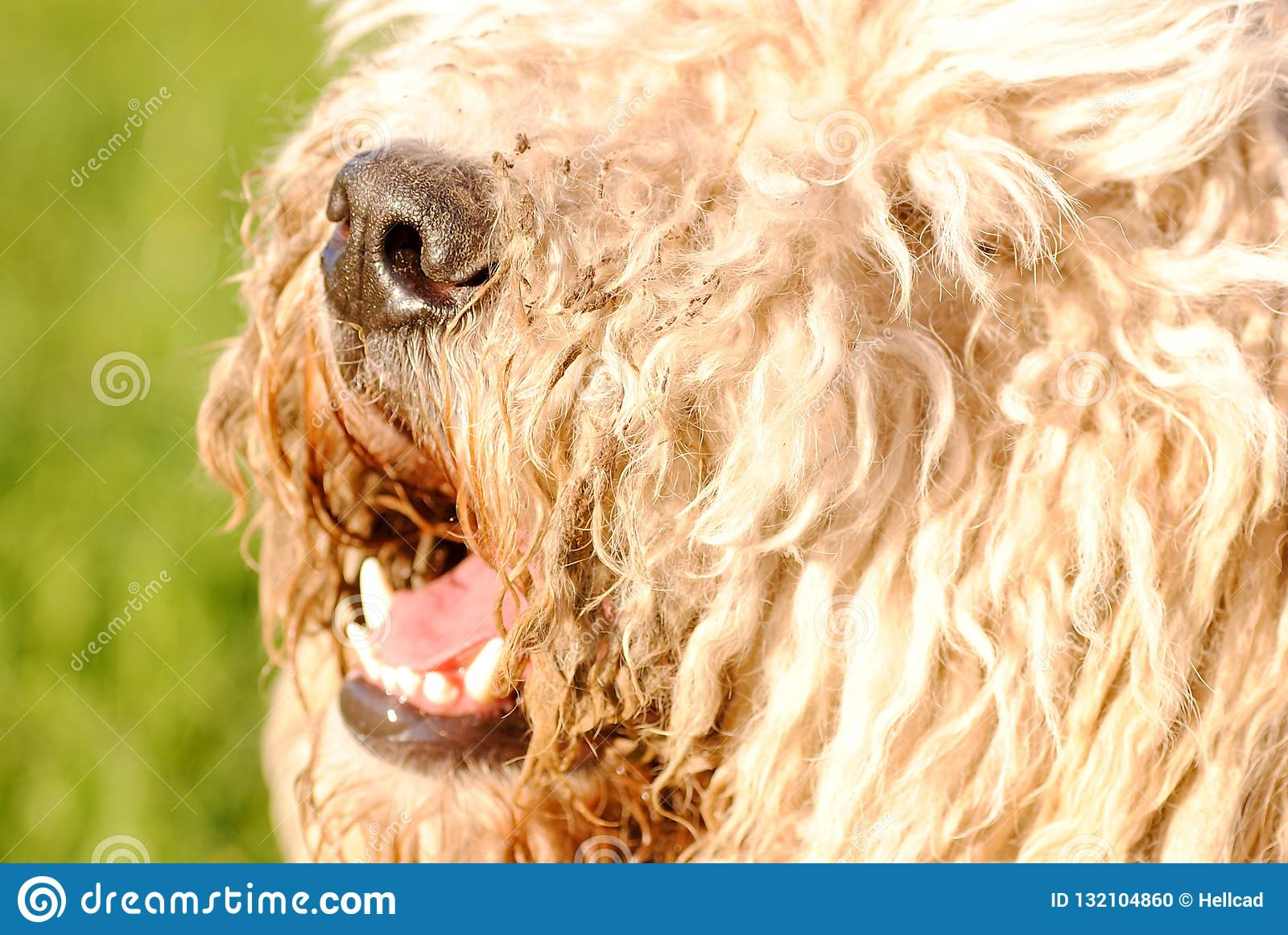 La nariz de perro melenuda grande