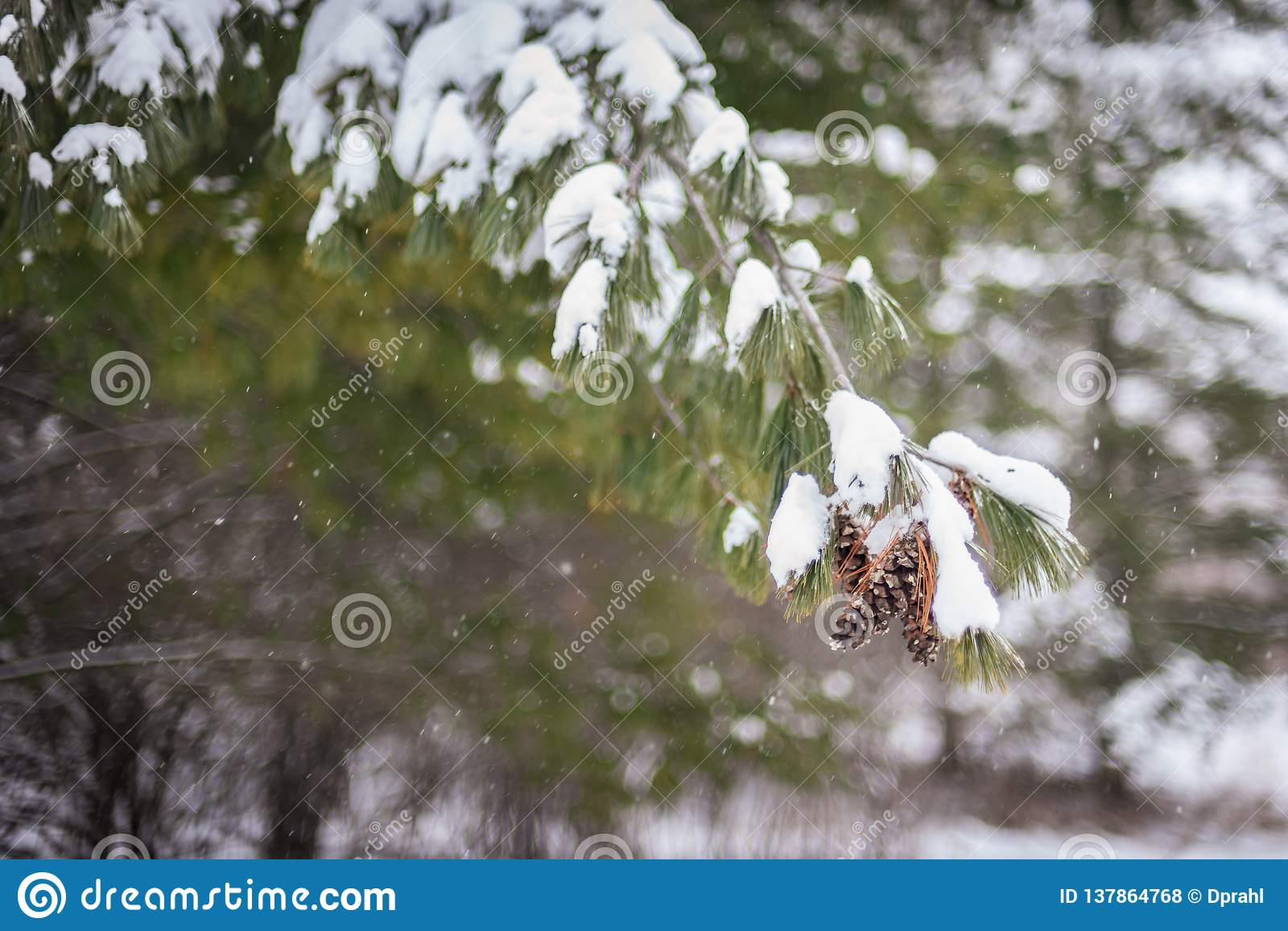 La neige a couvert le fond de branche de pin avec l espace de copie