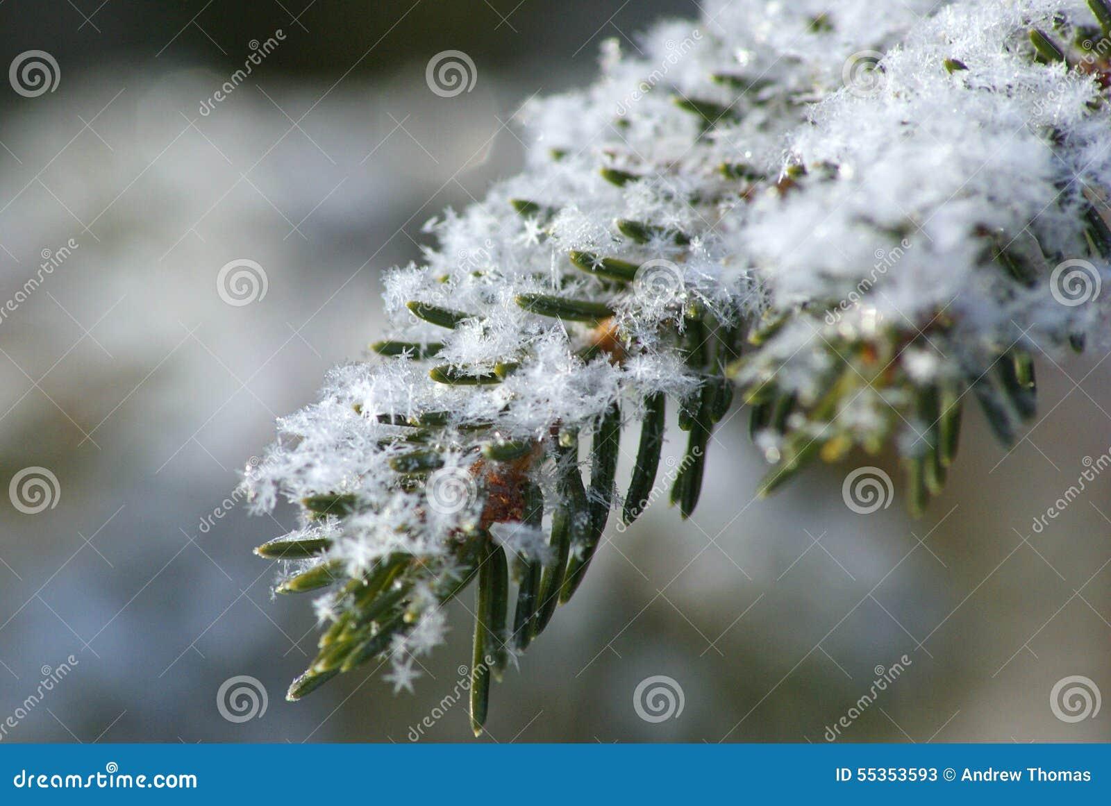La neve si sfalda sul ramo del pino