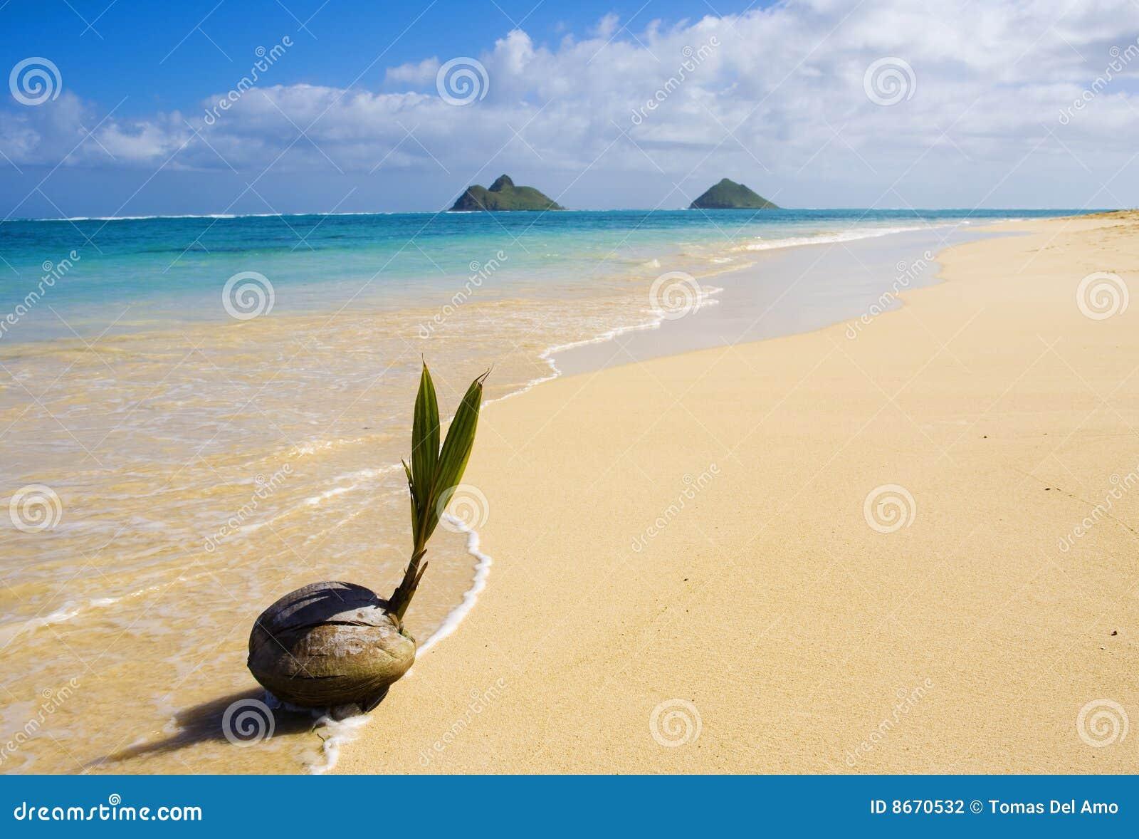 La noix de coco lave vers le haut sur le rivage