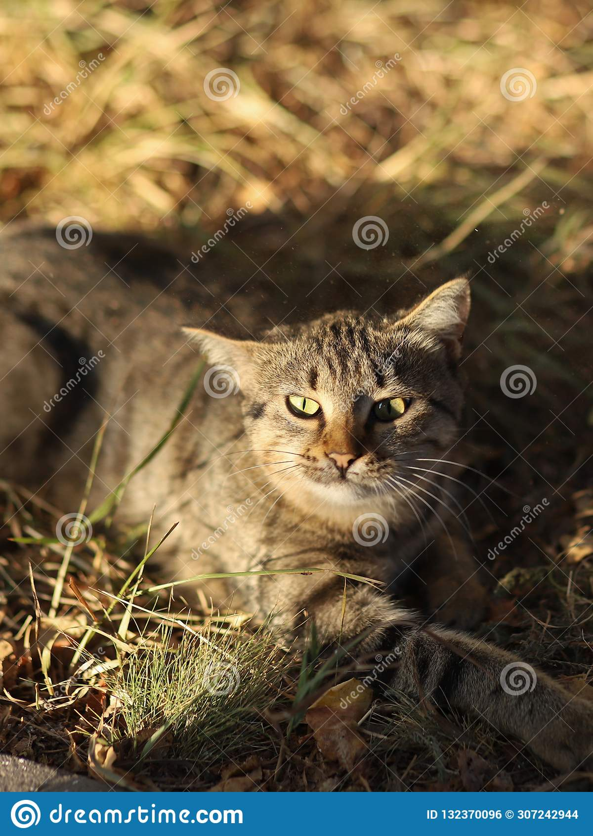 La nueva foto perdida de Cat Photographer, pequeño gato de tigre se relaja