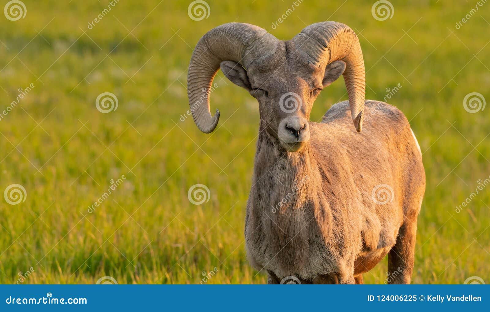 La oveja de Bighorn cierra ojos y aparece hacer muecas