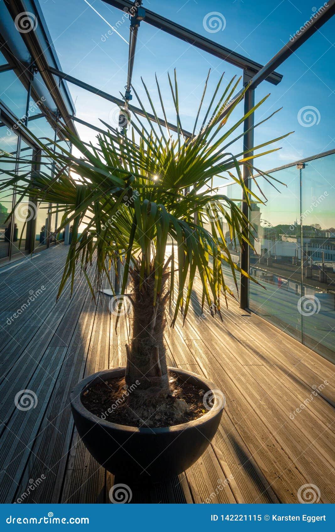 La palma sta su un terrazzo del tetto