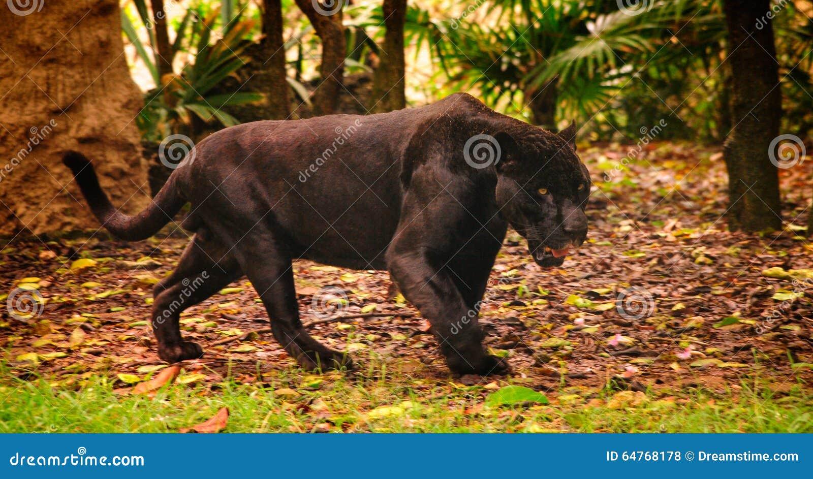La panthère dans une forêt