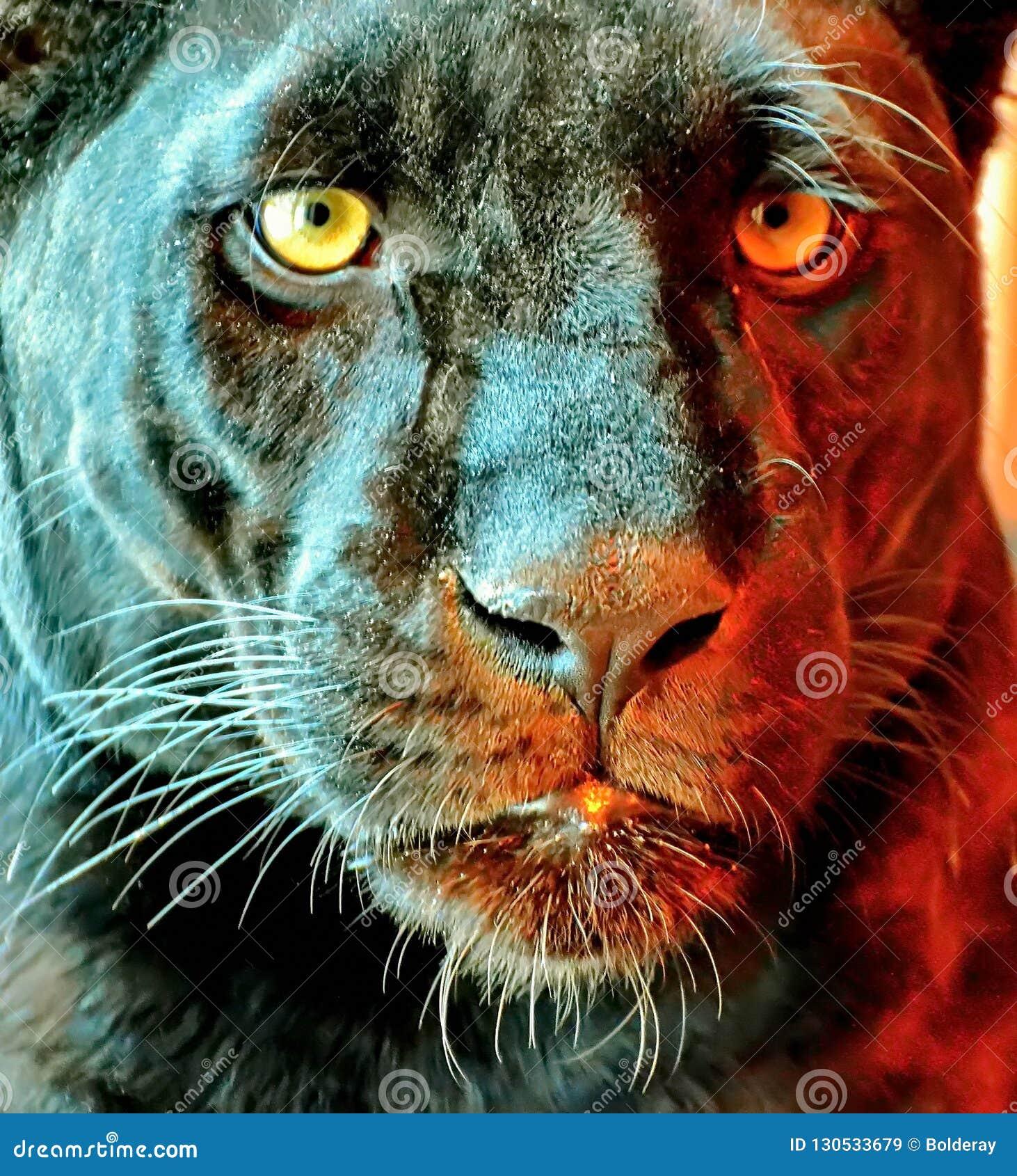 La panthera latina della pantera nera è un animale raro in natura La sua bellezza è oltre dubbio