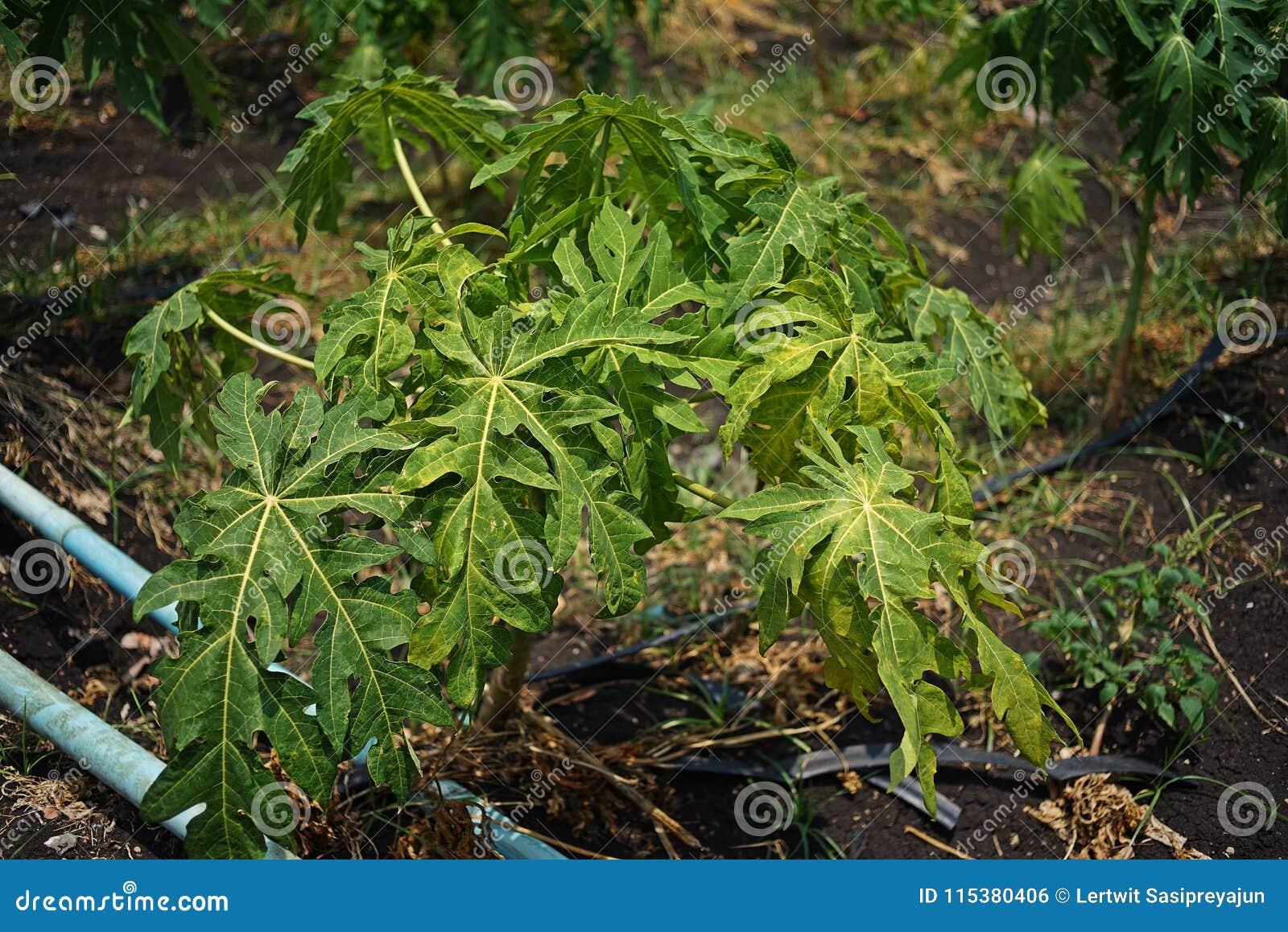La papaye part du jaunissement et de la malformation de l infection de virus