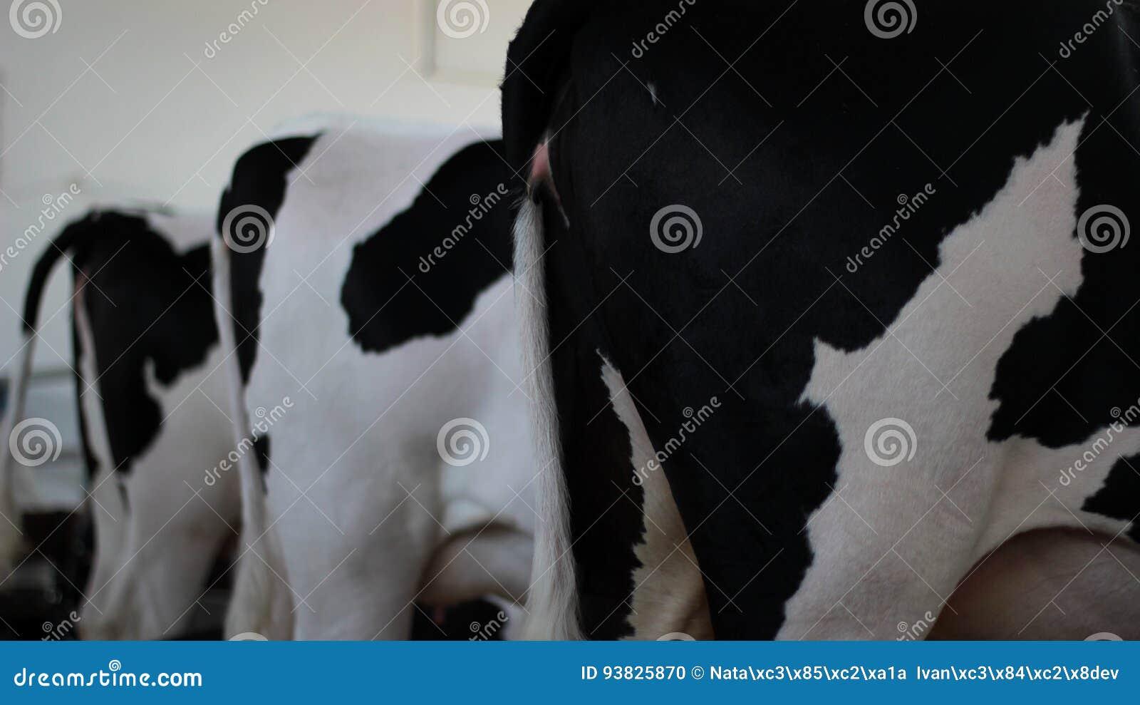 La parte posterior de una vista lateral de las vacas blancos y negros
