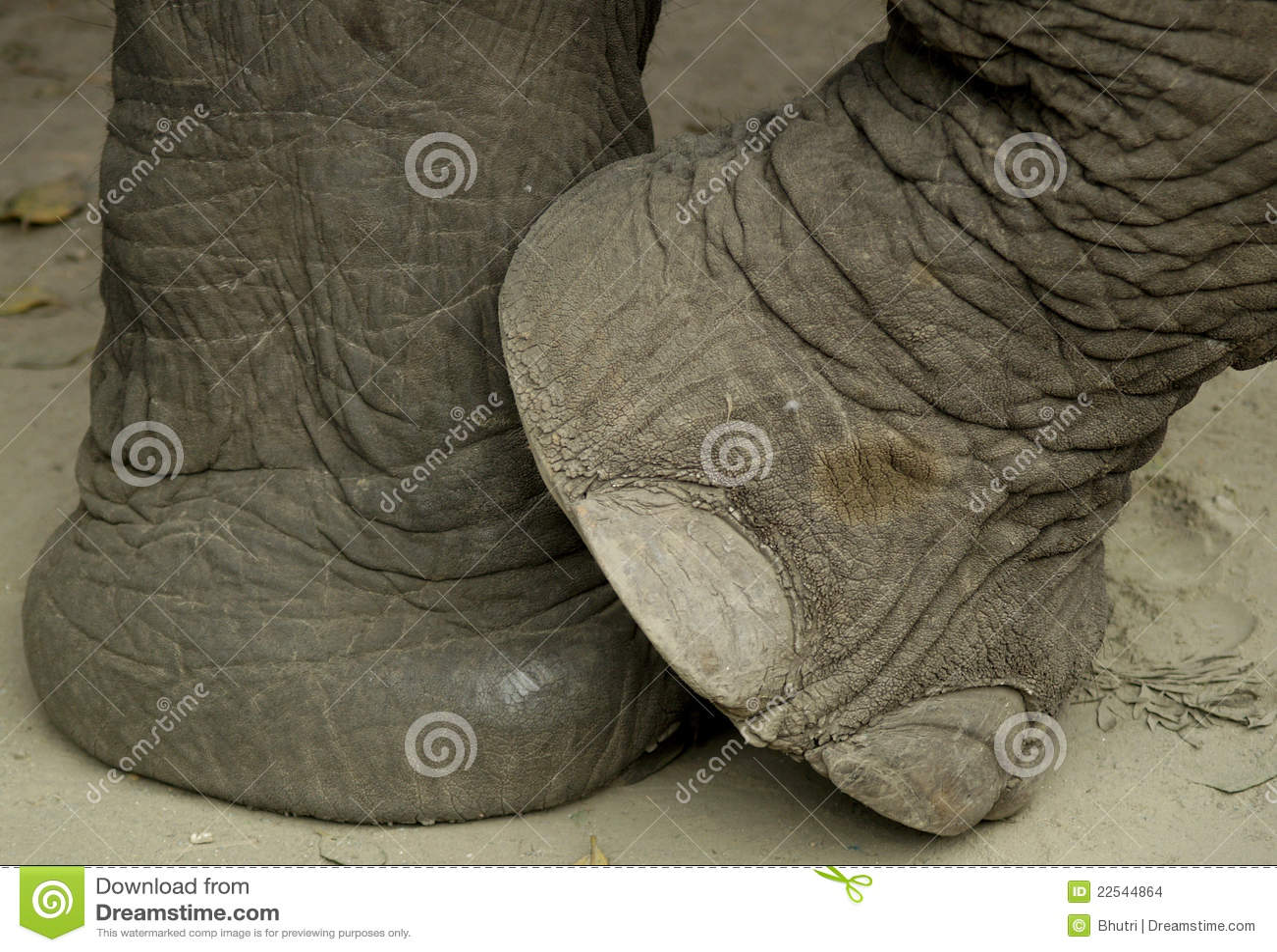 taille 40 b98f5 b42aa La patte de l'éléphant photo stock. Image du orteils - 22544864