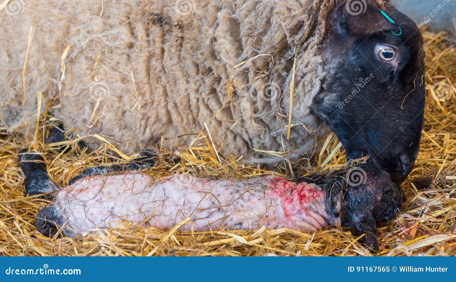 La pecora delle pecore lecca il suo agnello dopo avere dato alla luce