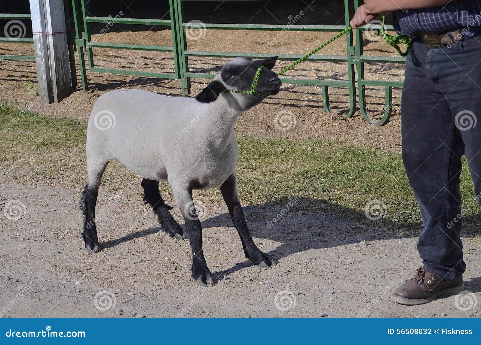 La pecora testarda rifiuta di essere condotta