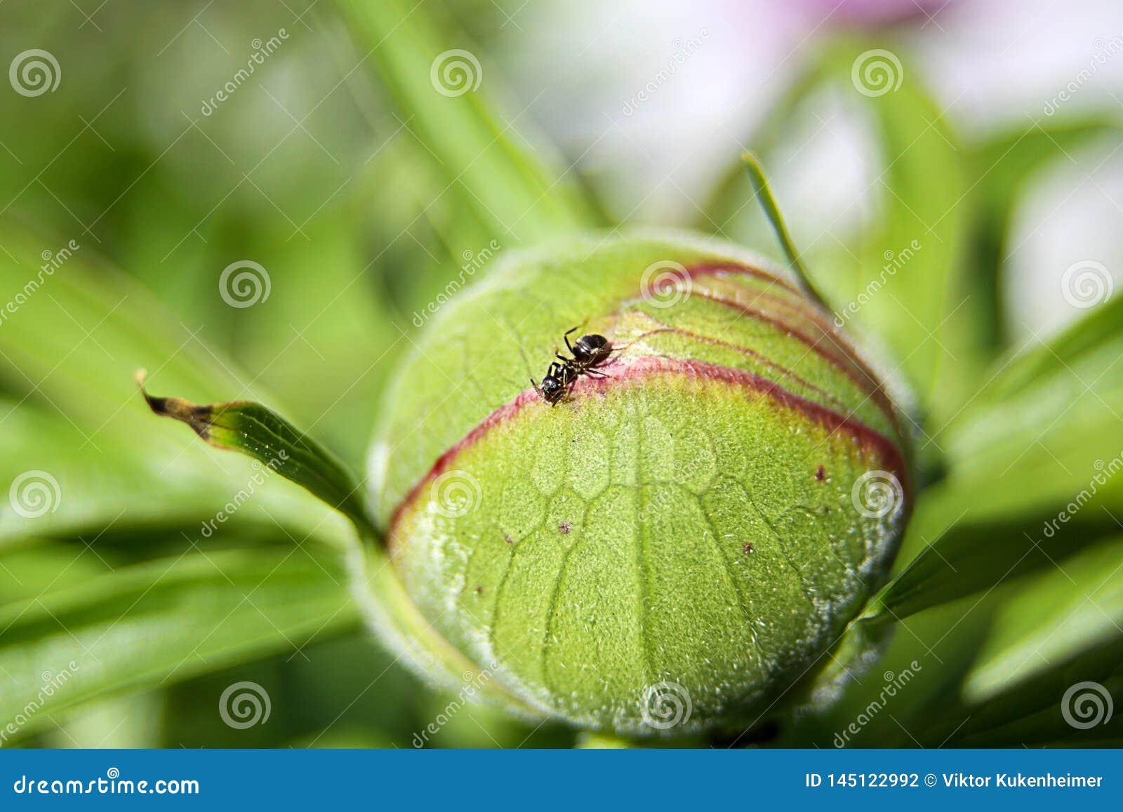 La peonia ha chiamato Paeonia inoltre