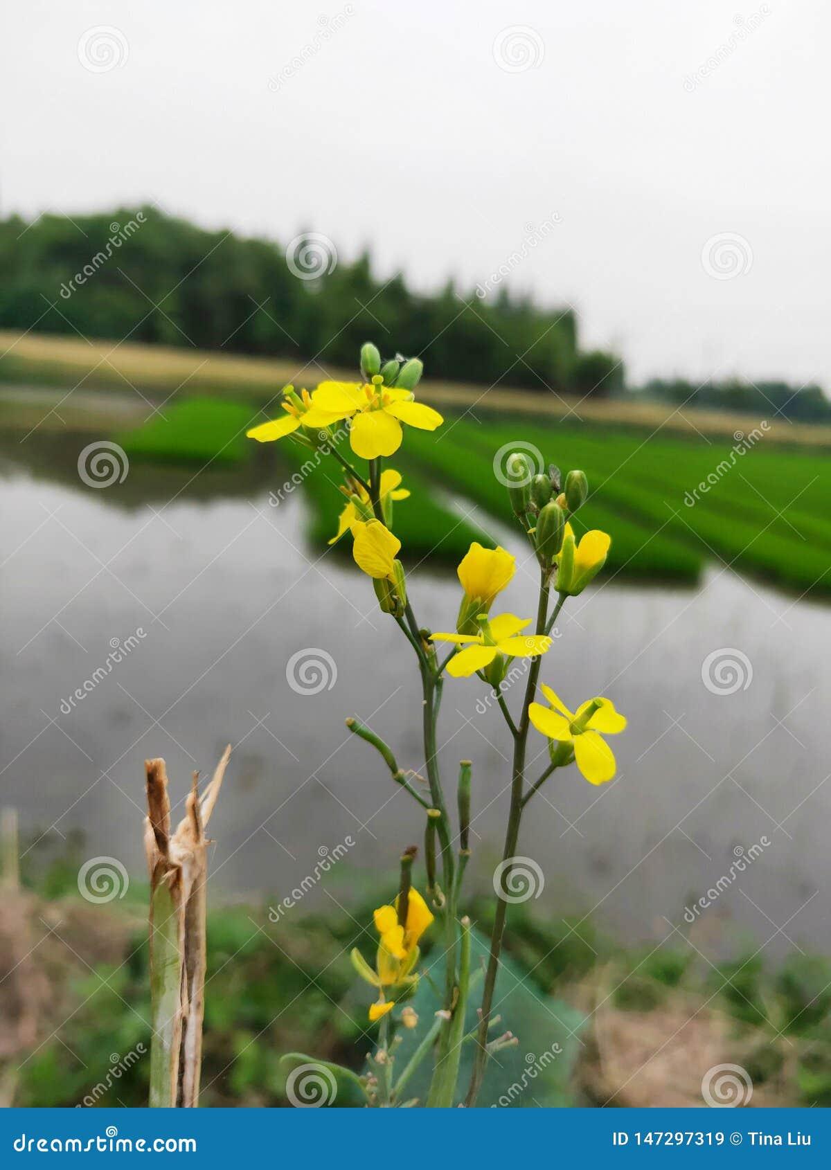 La pequeña flor amarilla de la violación