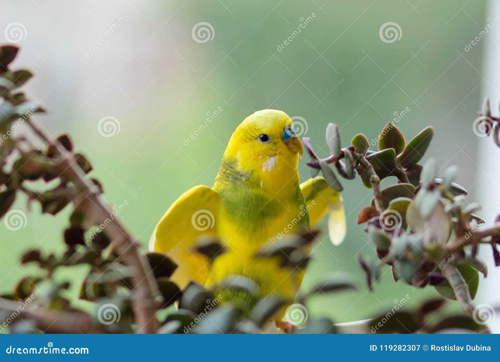 La perruche se repose sur une branche Le perroquet est brillamment de couleur citron Le perroquet d oiseau est un animal familier