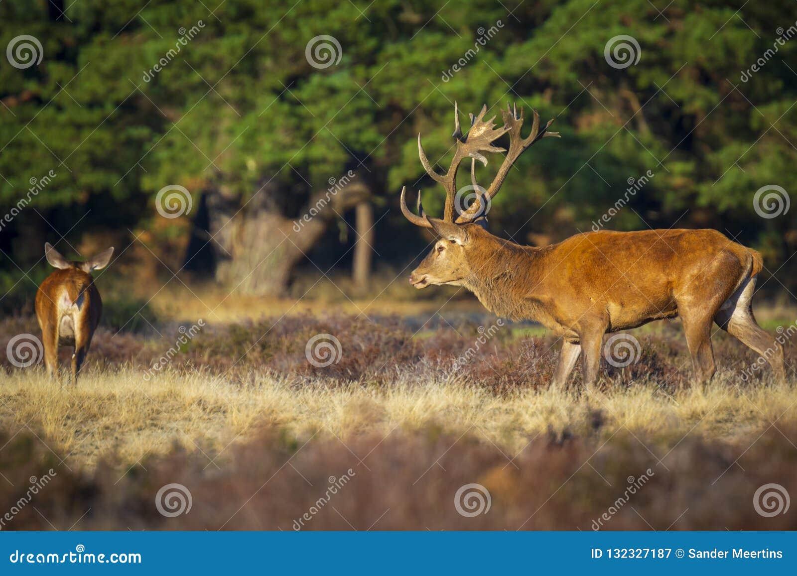 La persecución del macho del elaphus del cervus de los ciervos comunes hace durante celo