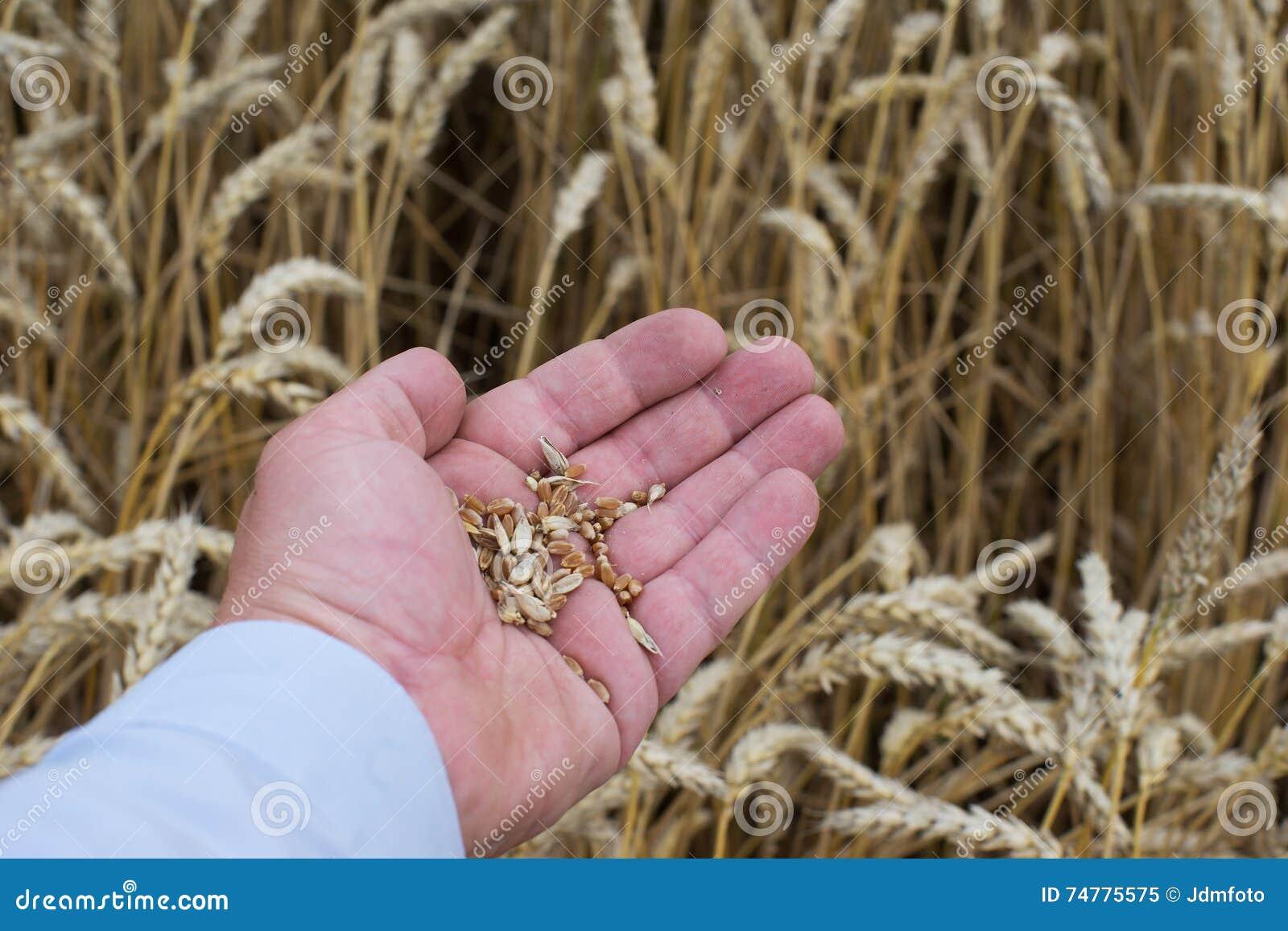 La photo haute de fin de la main de l homme avec les grains riped non nettoyés crus de blé montrent ou examinant la qualité du bl