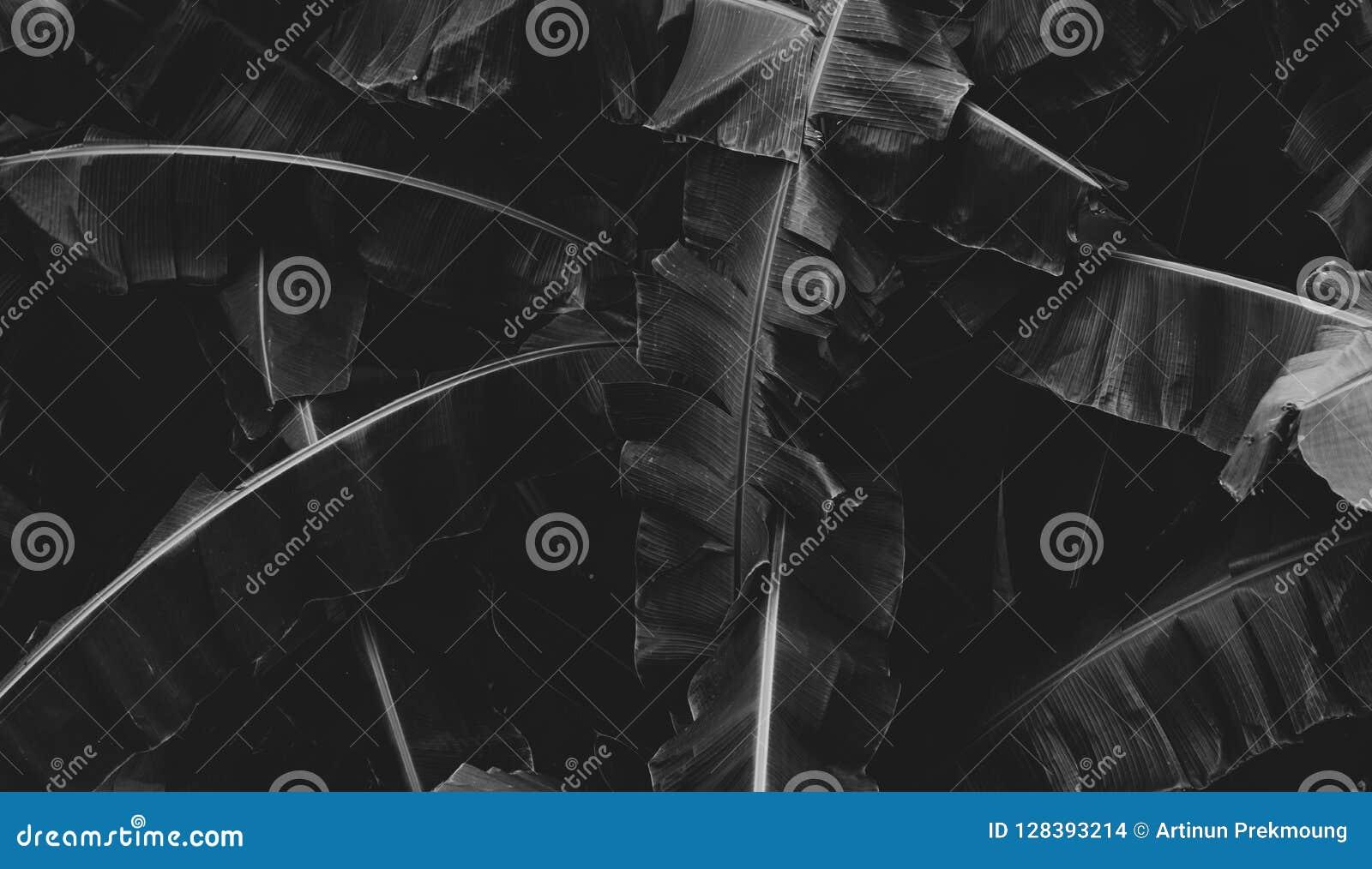 La photo noire et blanche de la banane part du fond abstrait Ton foncé des feuilles dans la jungle tropicale Fond de nature de fe