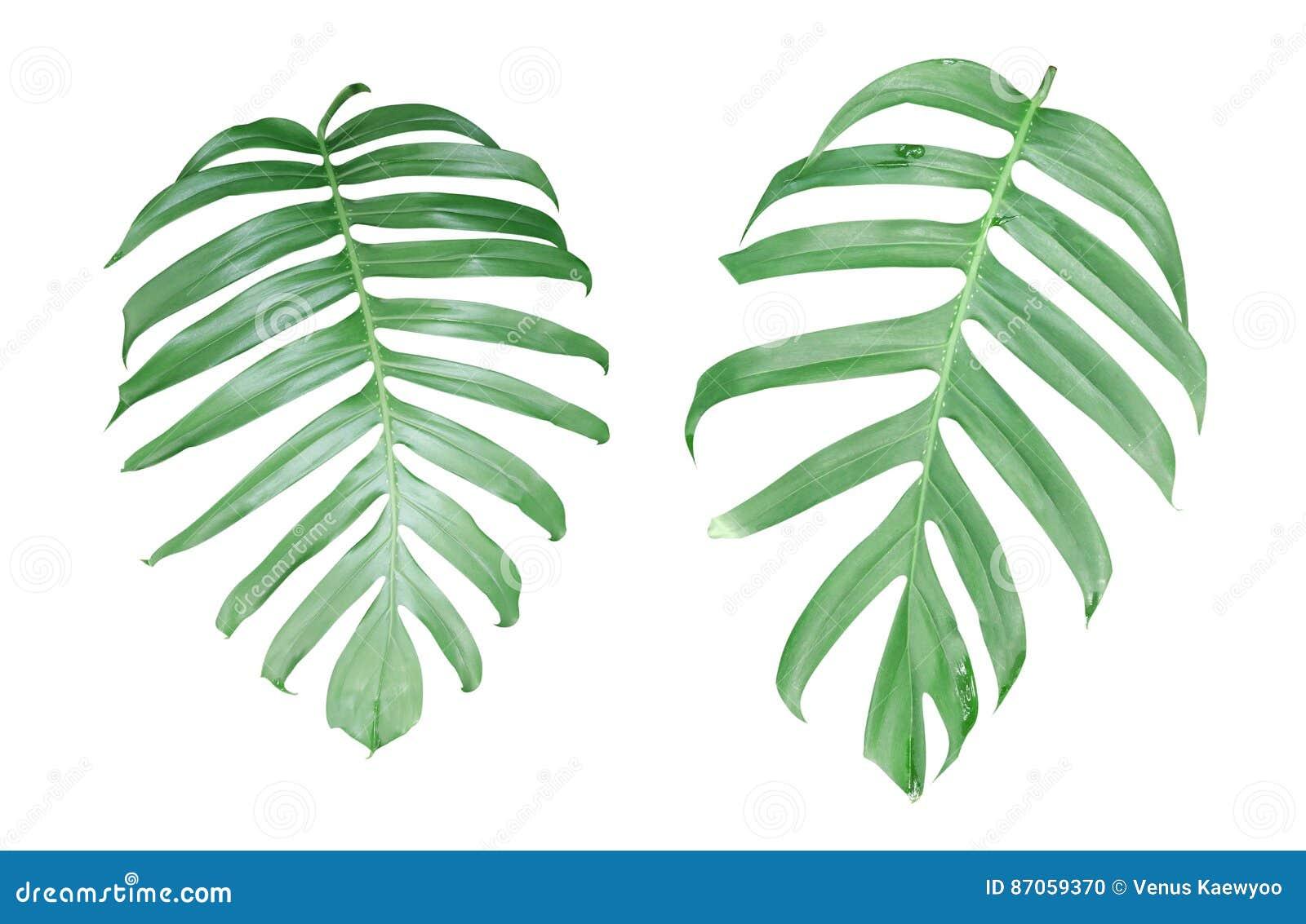 La pianta di Monstera va, la vite sempreverde tropicale isolata sopra
