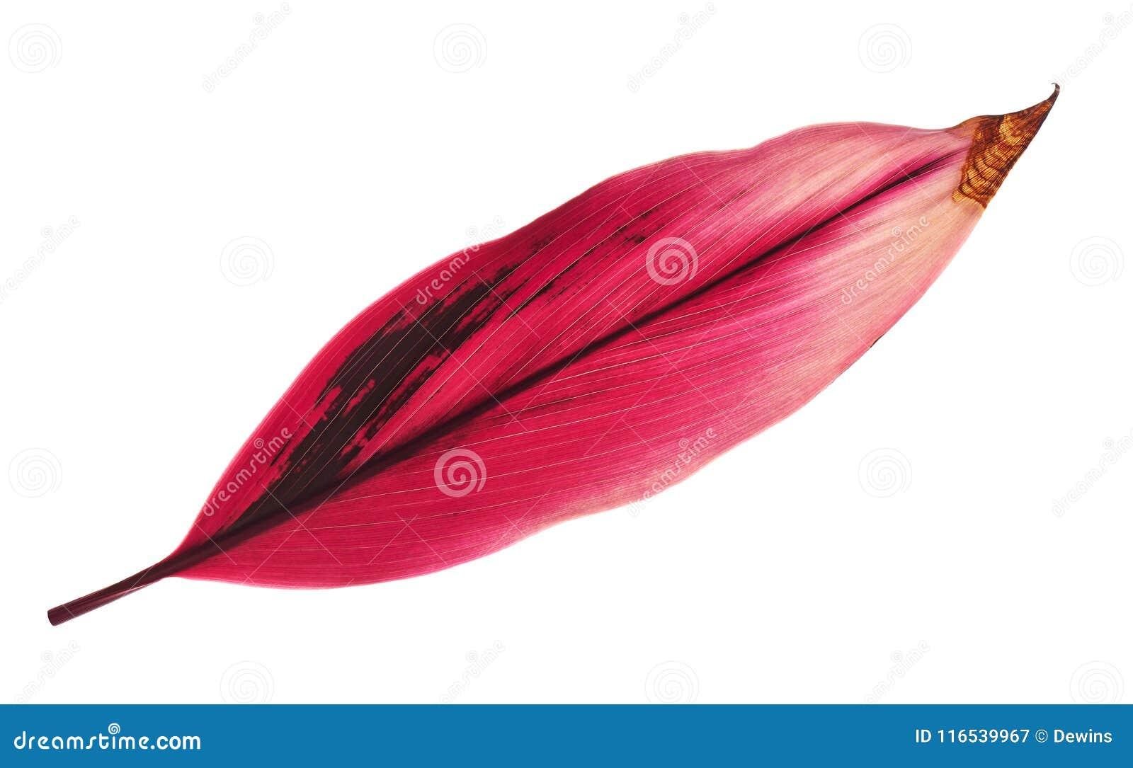 La pianta o il cordyline fruticosa del Ti va, fogliame variopinto, foglia tropicale esotica, isolata su fondo bianco con il perco