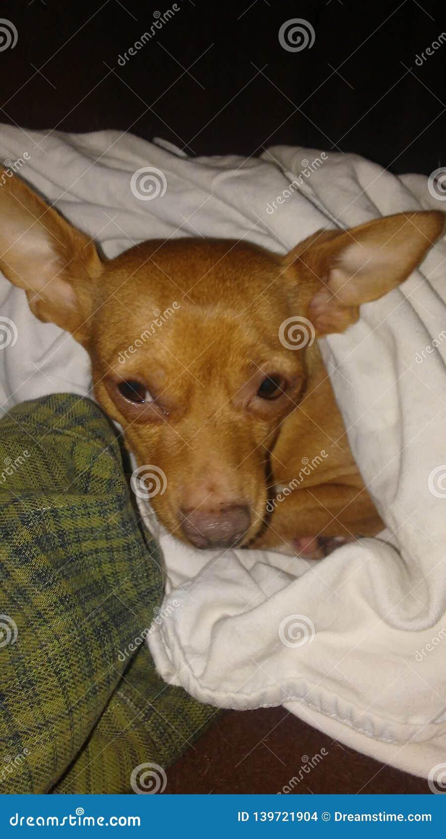 La piccola chihuahua sveglia ha nominato Bella