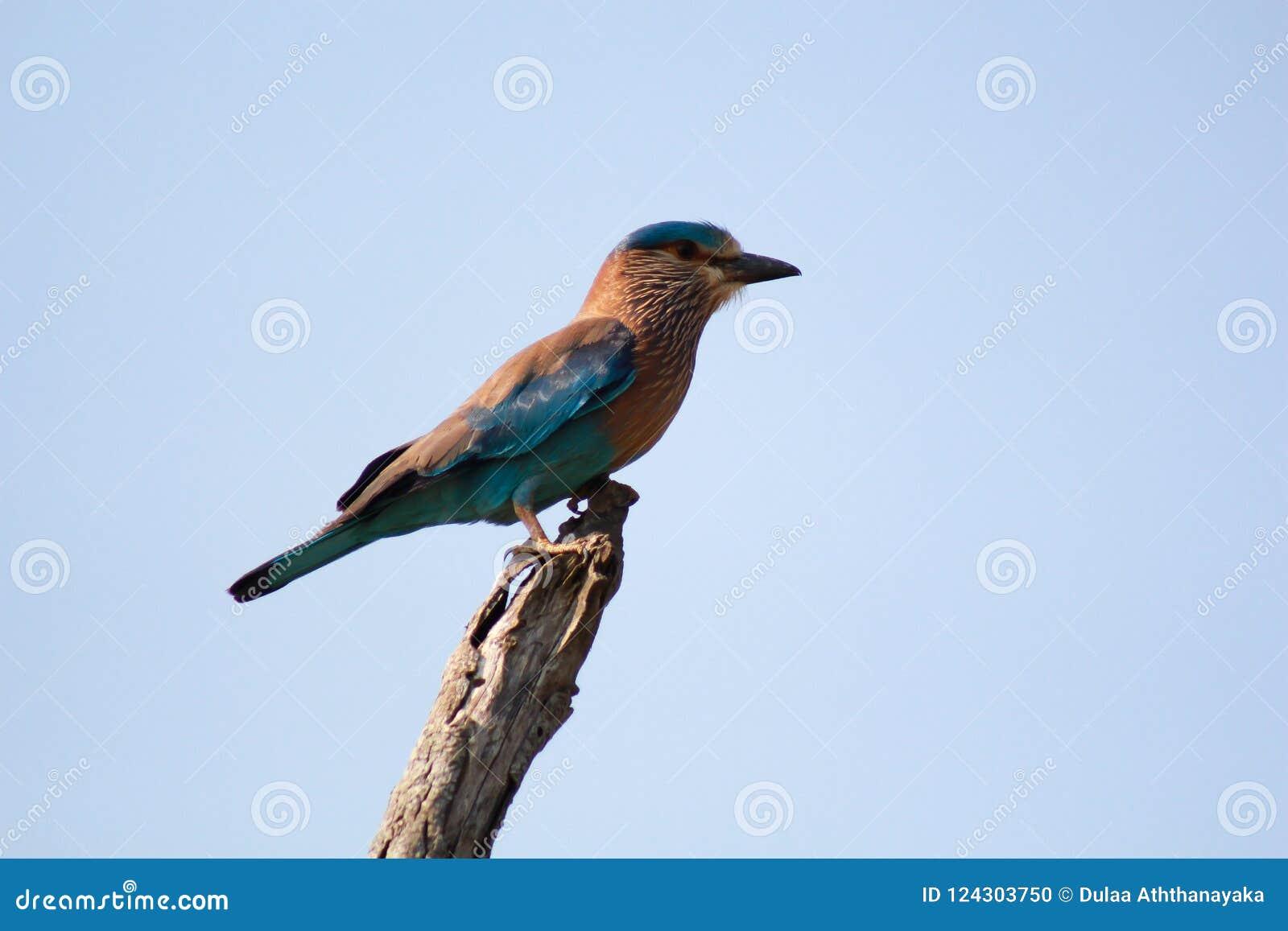 La pie bleue de Sri Lanka ou ornata d Urocissa de pie de la Ceylan