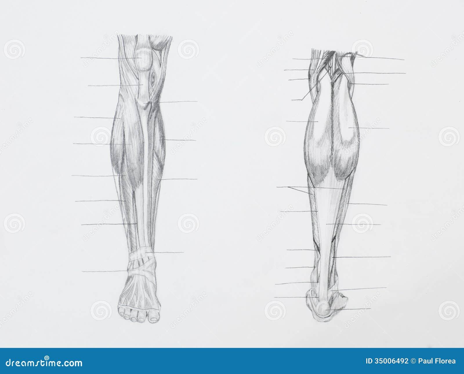 La Pierna Muscles El Dibujo De Lápiz Foto de archivo - Imagen de ...