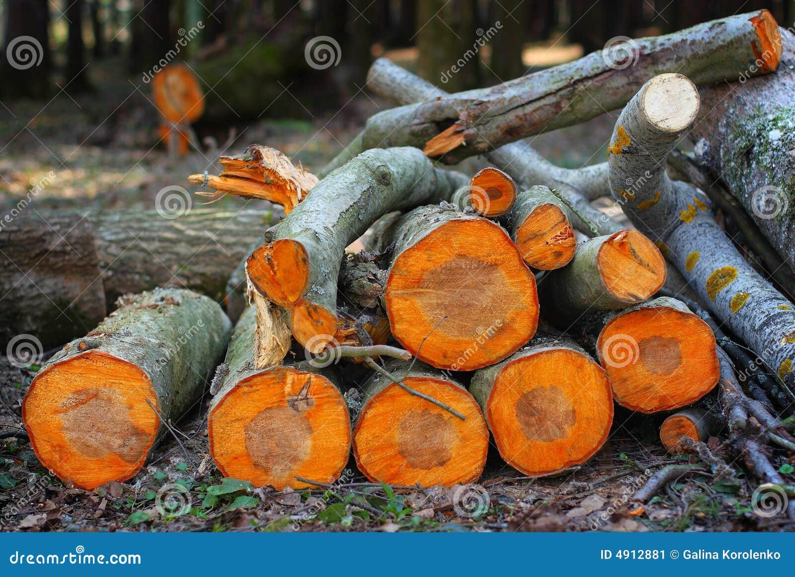 La pila de álamo temblón abre una sesión la madera del resorte en el sunse