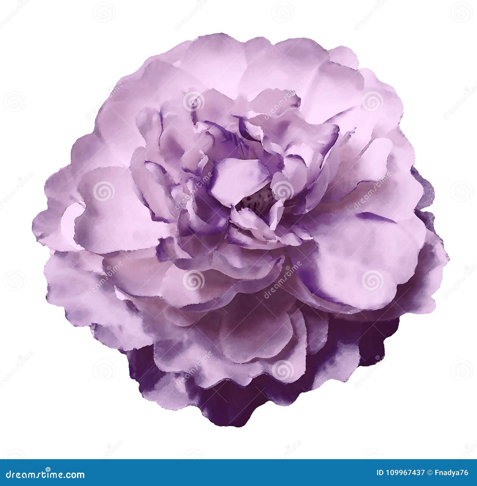 La pivoine de fleur d aquarelle rose-violette sur un blanc a isolé le fond avec le chemin de coupure nature Plan rapproché aucune