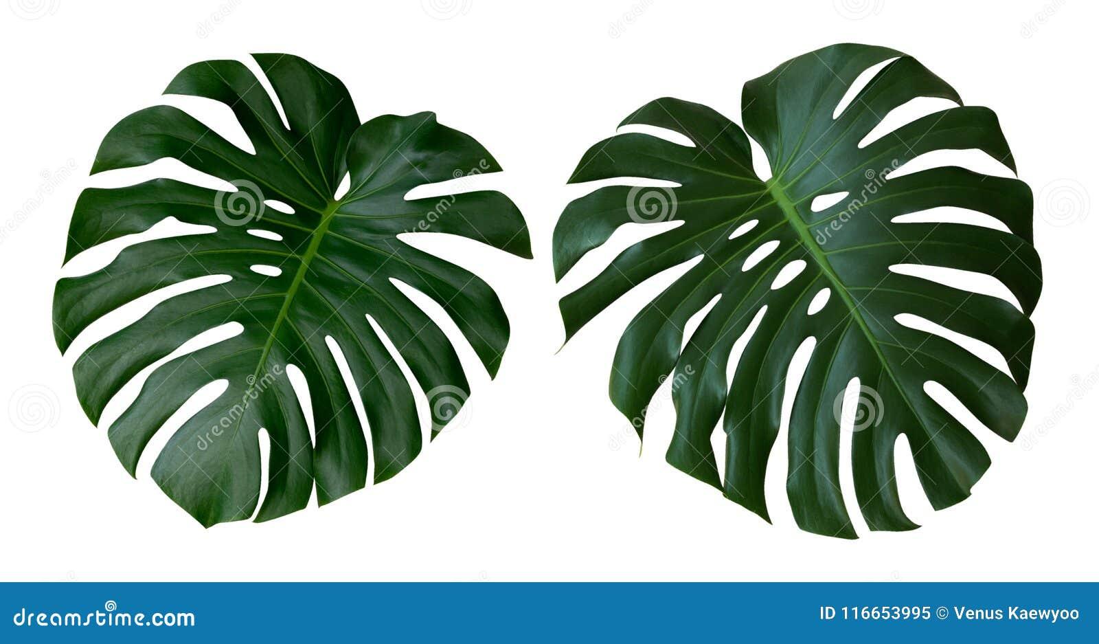 La planta de Monstera se va, la vid imperecedera tropical aislada en el fondo blanco, trayectoria