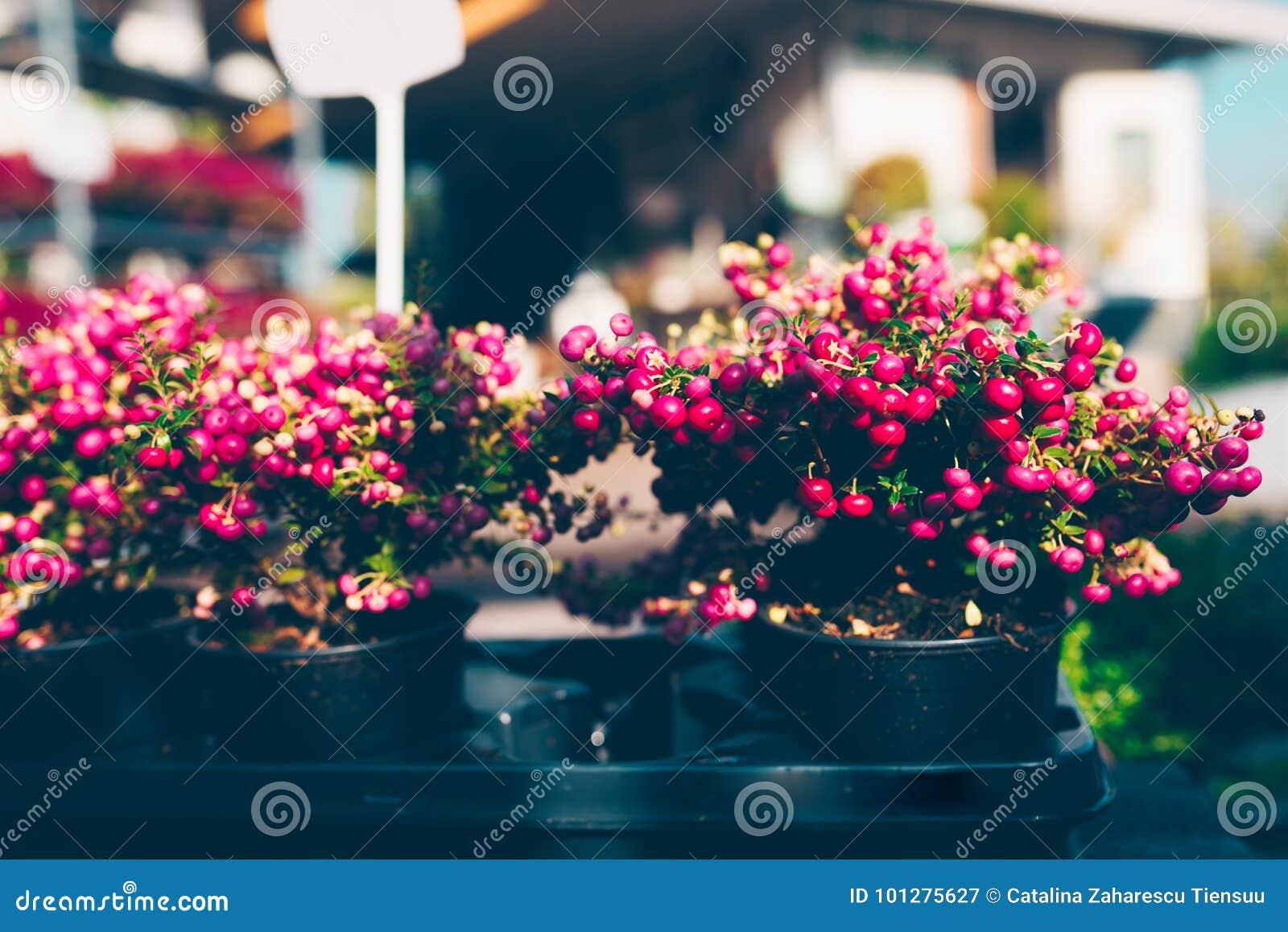 La planta ornamental de la Navidad llamó el brezo espinoso