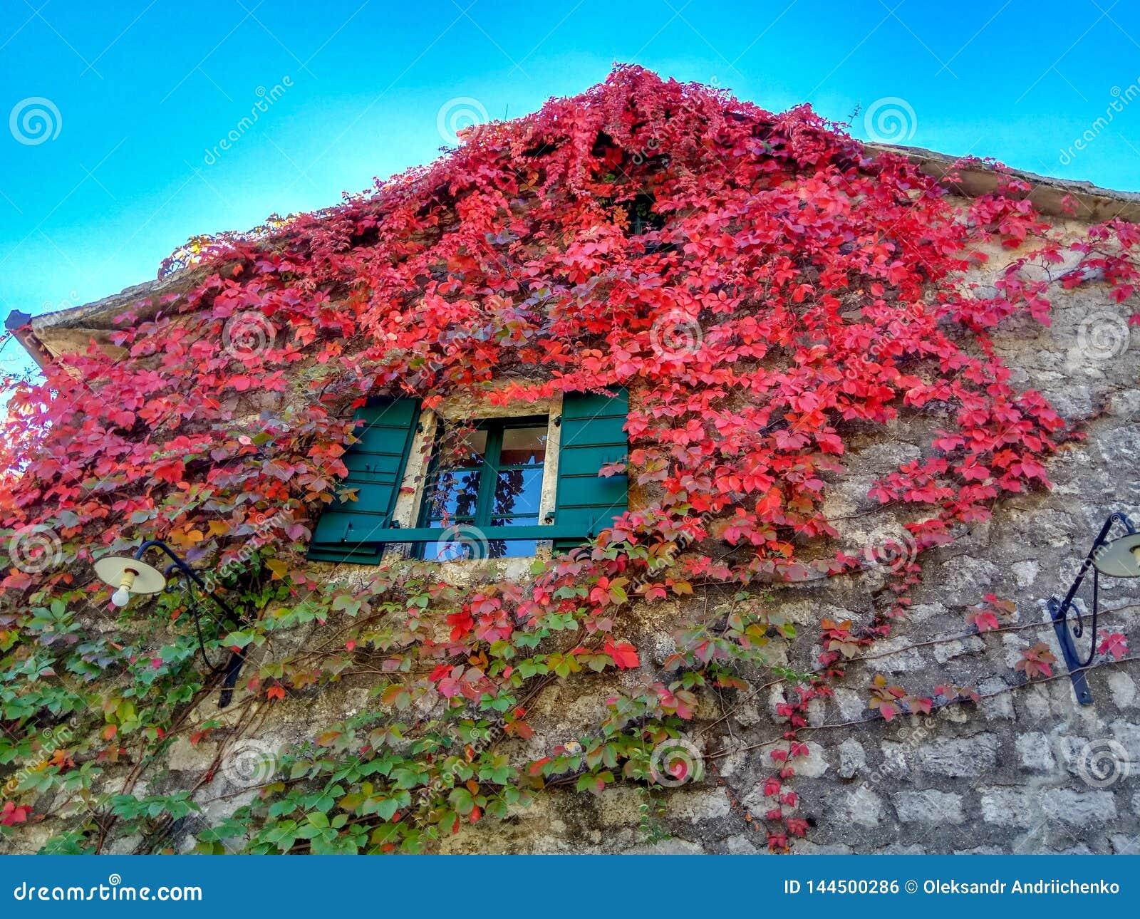 La planta que sube con rojo se va en otoño en la pared de piedra vieja