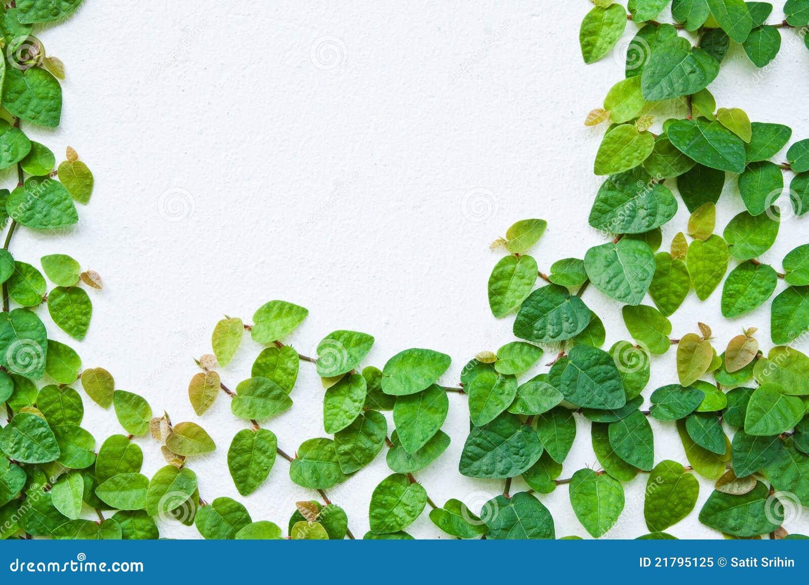 La Planta Verde De La Enredadera En La Pared Imagen De