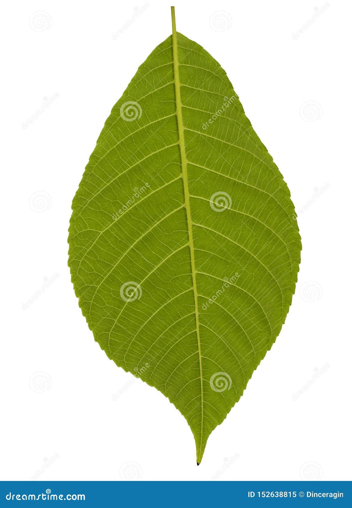 La planta verde se va aislado en el fondo blanco