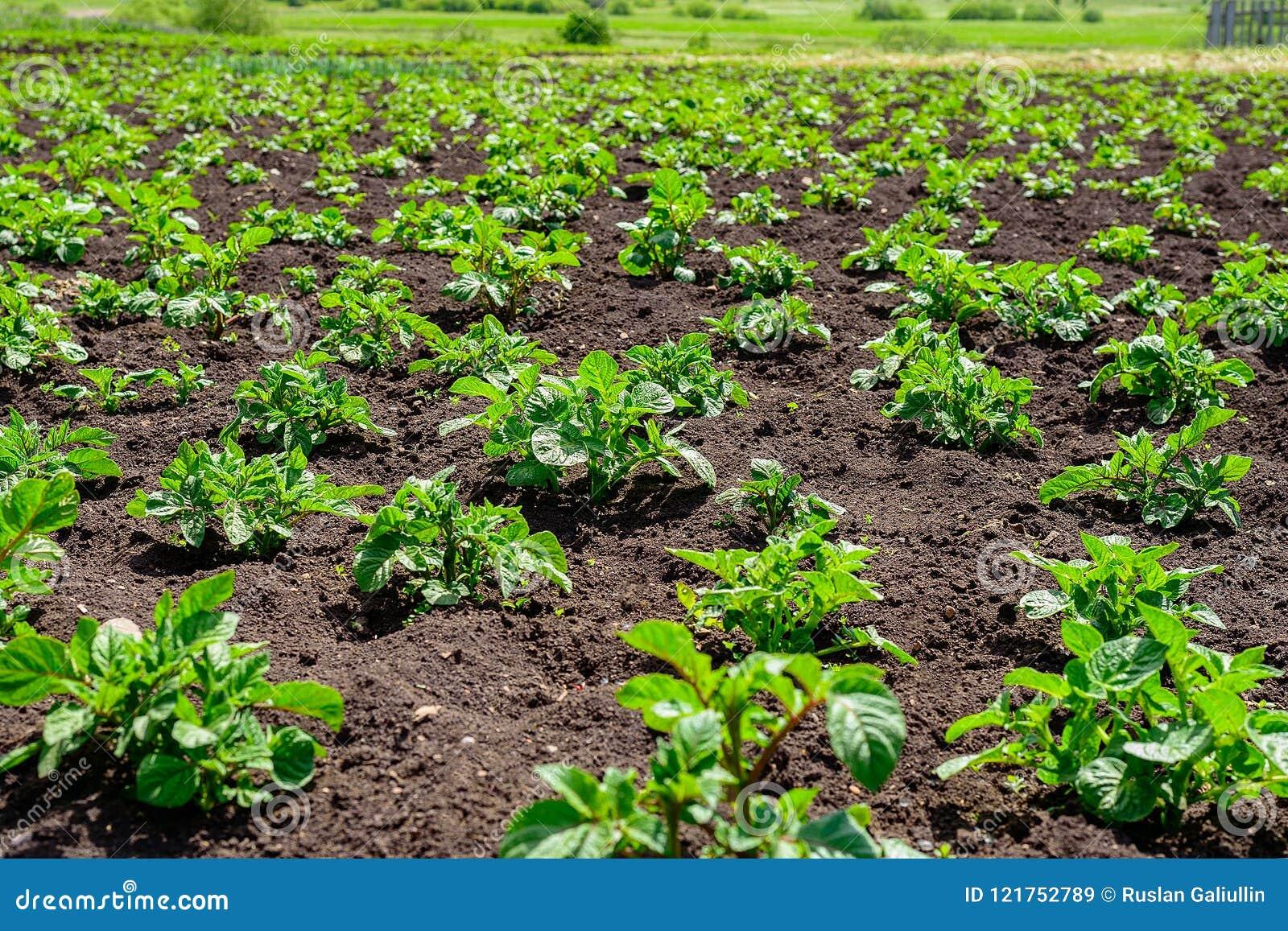 La plantation de la jeune pomme de terre pousse dans un domaine avec le sol noir