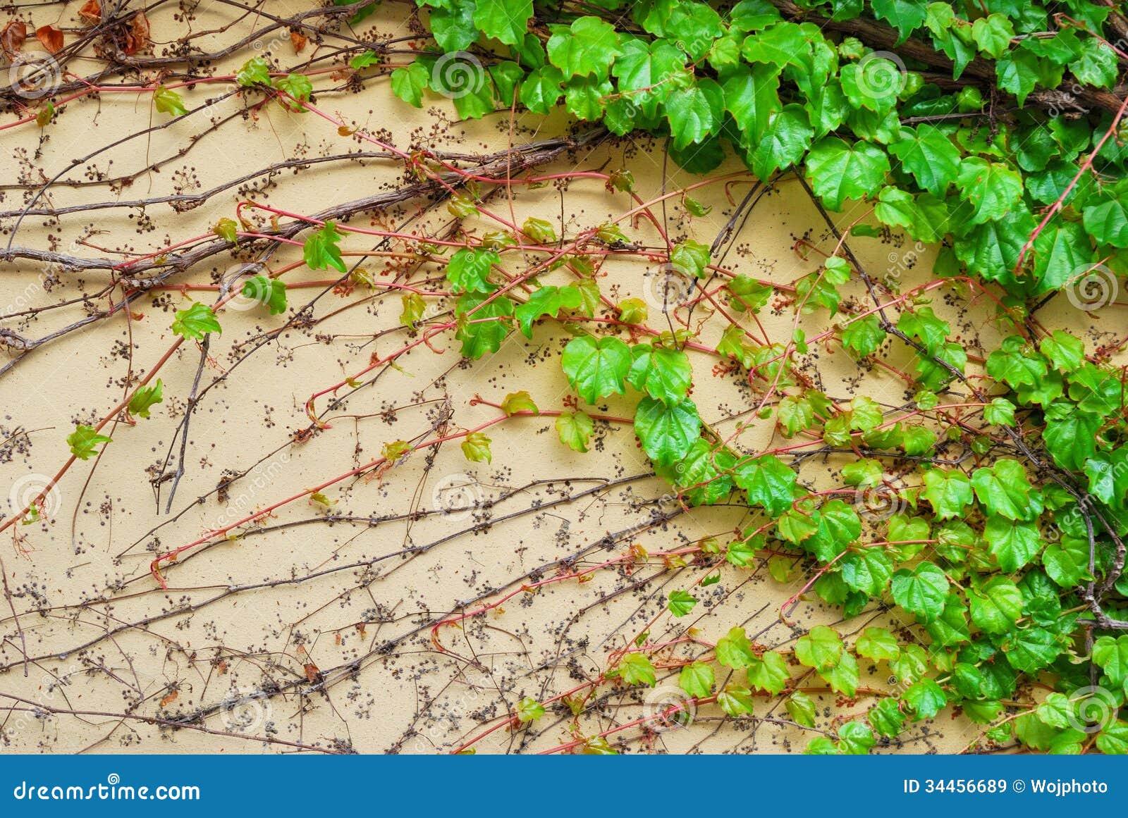 La plante grimpante verte de vigne part sur un mur de for La plante verte