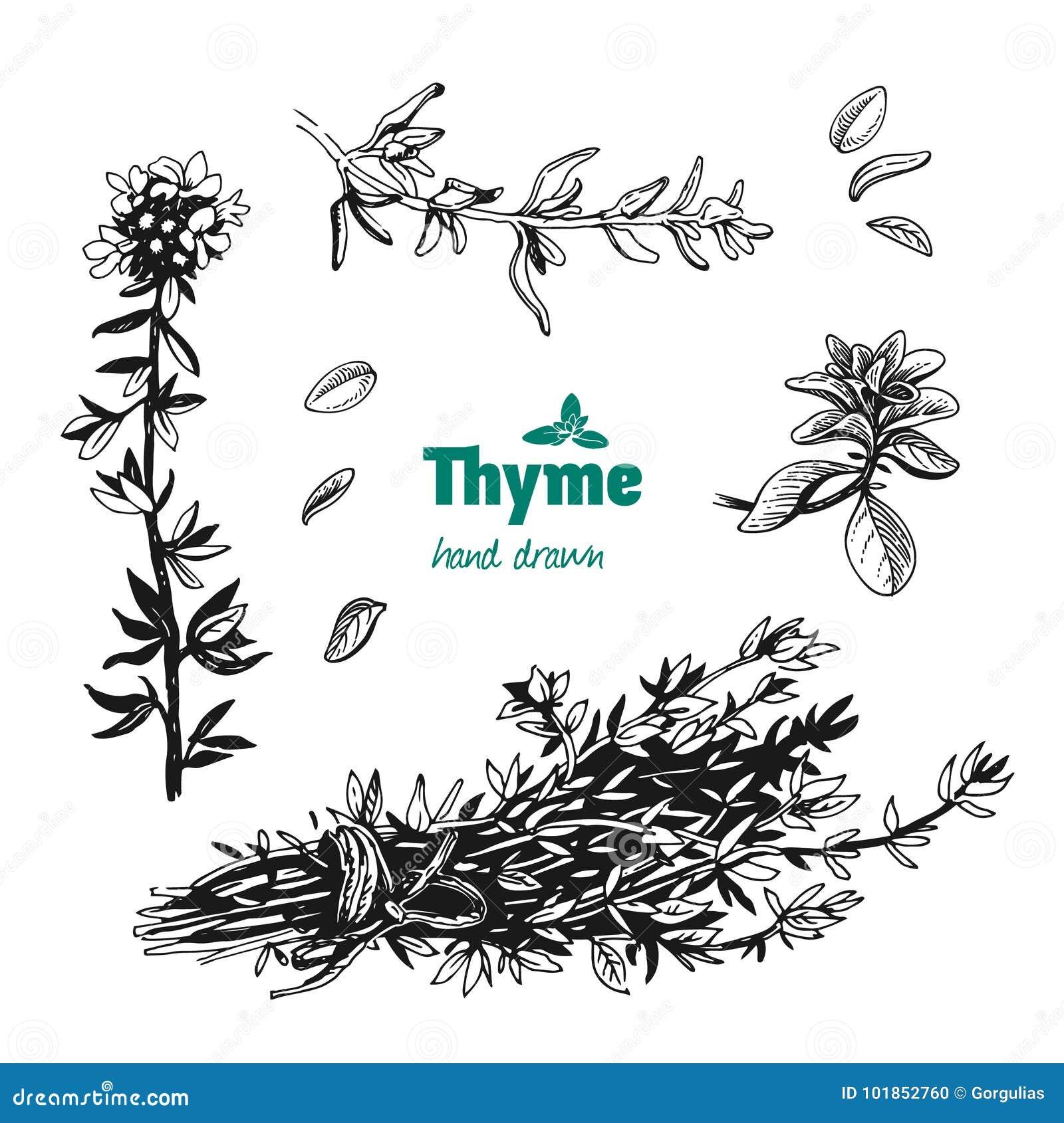 la plante, les feuilles, les fleurs et le groupe de thym dirigent l