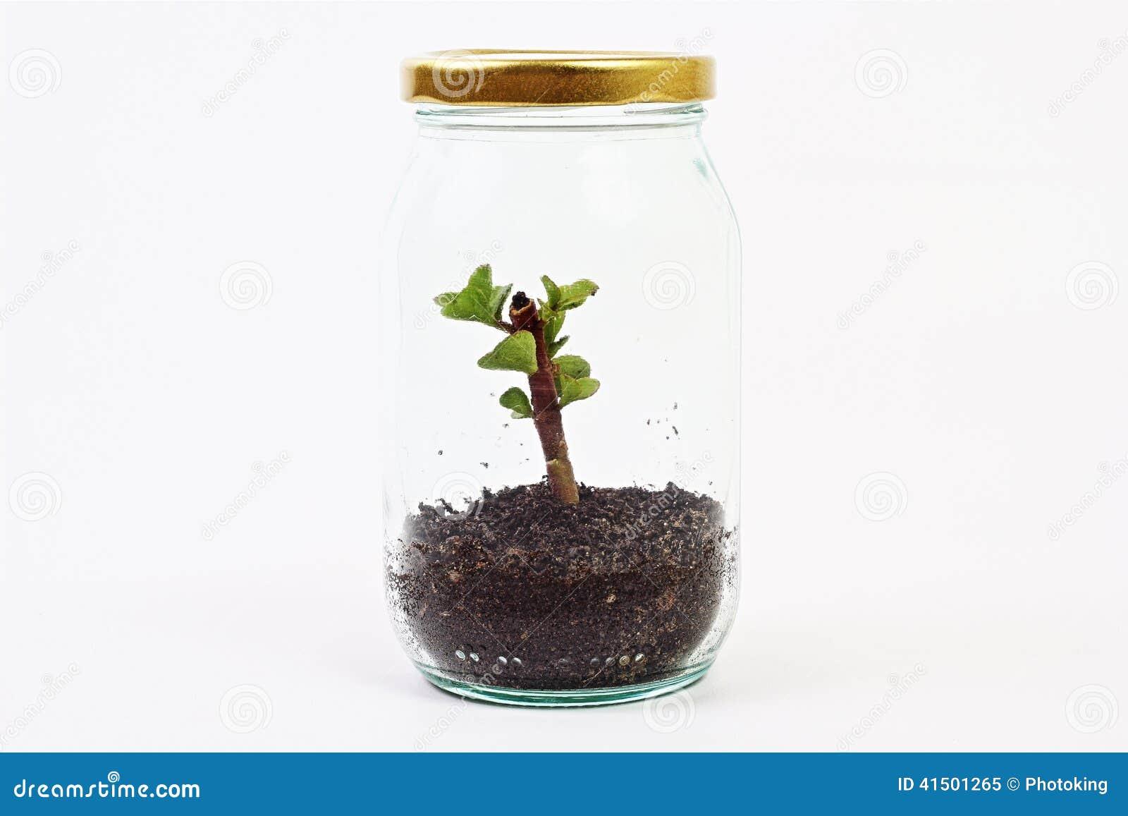 plante verte dans pot en verre