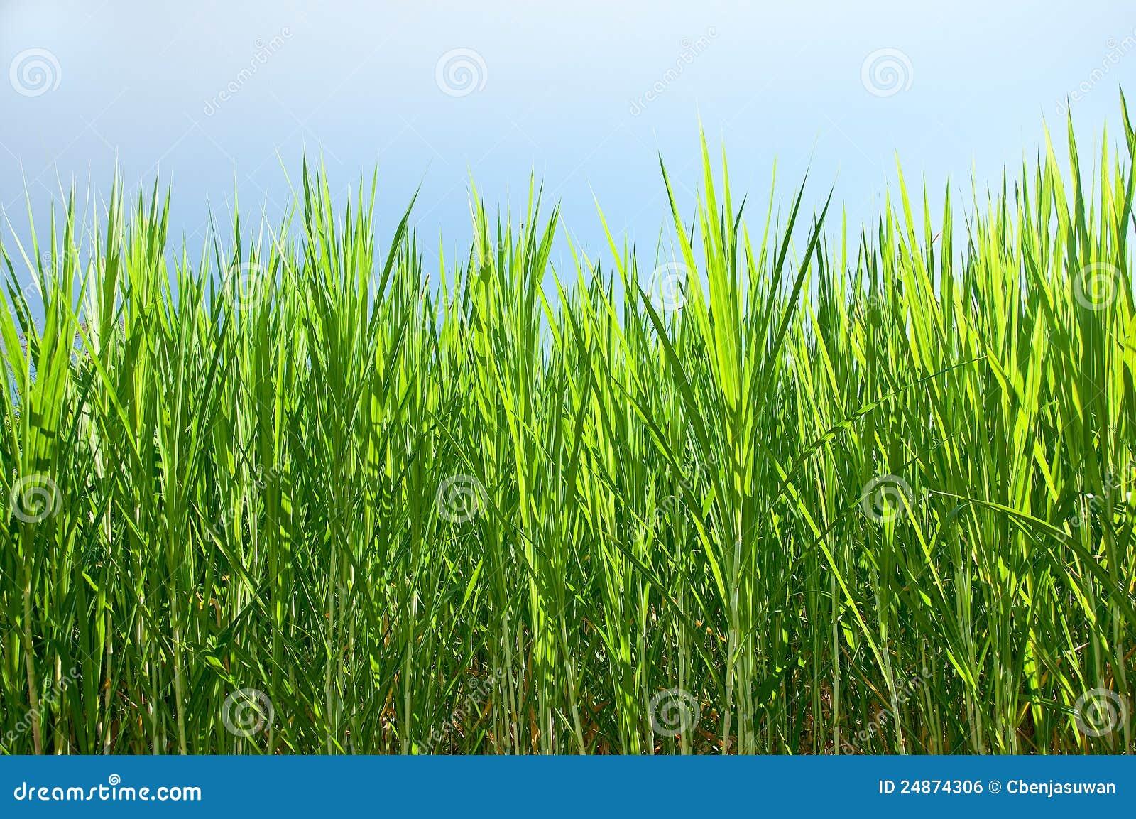 La plante verte de la canne sucre for La plante verte