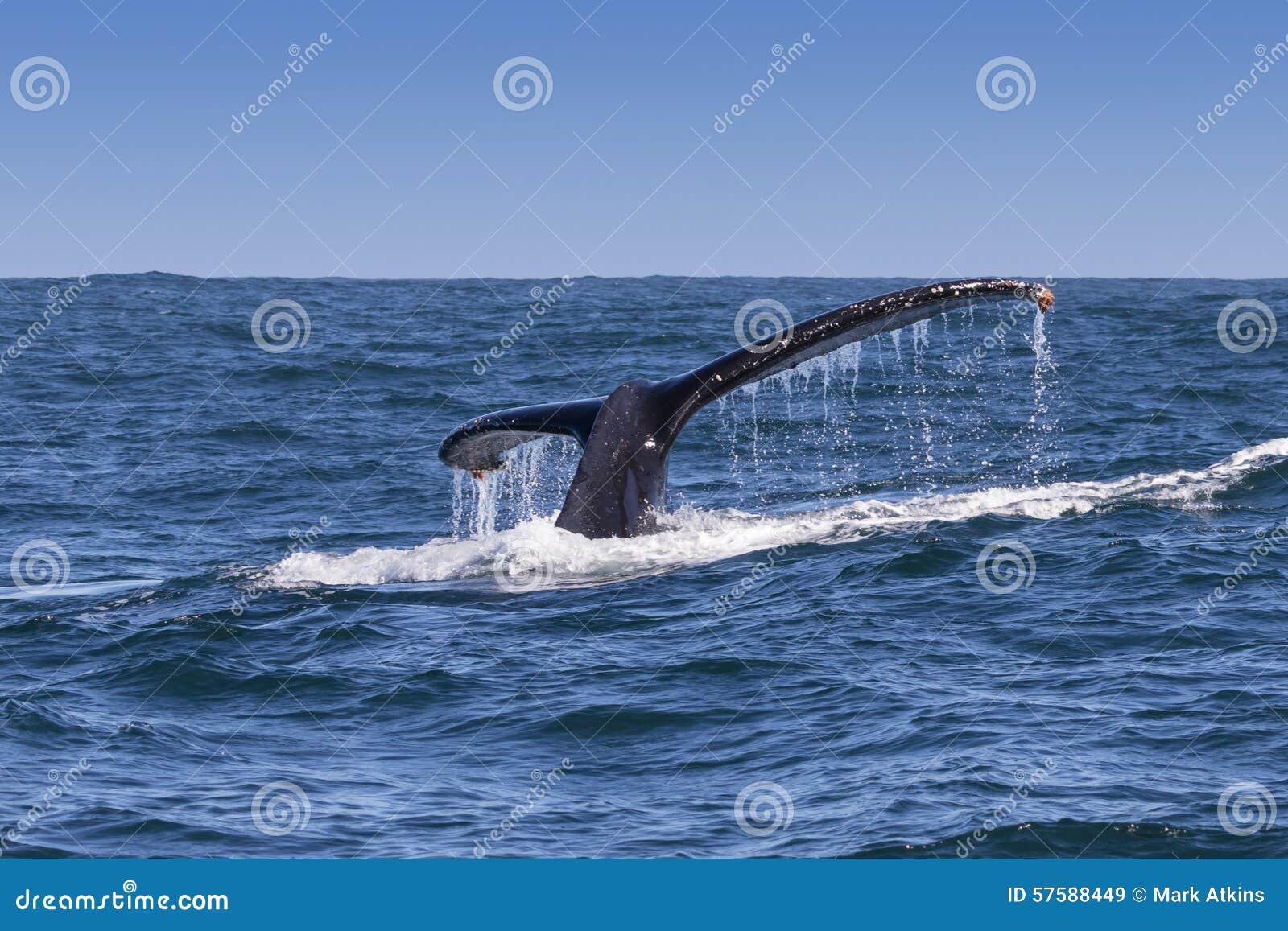 La platija de la ballena jorobada