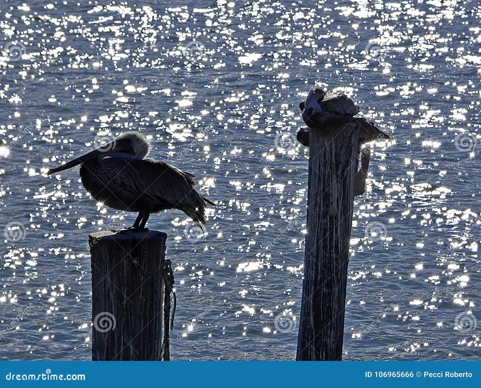 La playa de la Florida, Madeira, tres pelícanos se encarama en el tronco de un árbol
