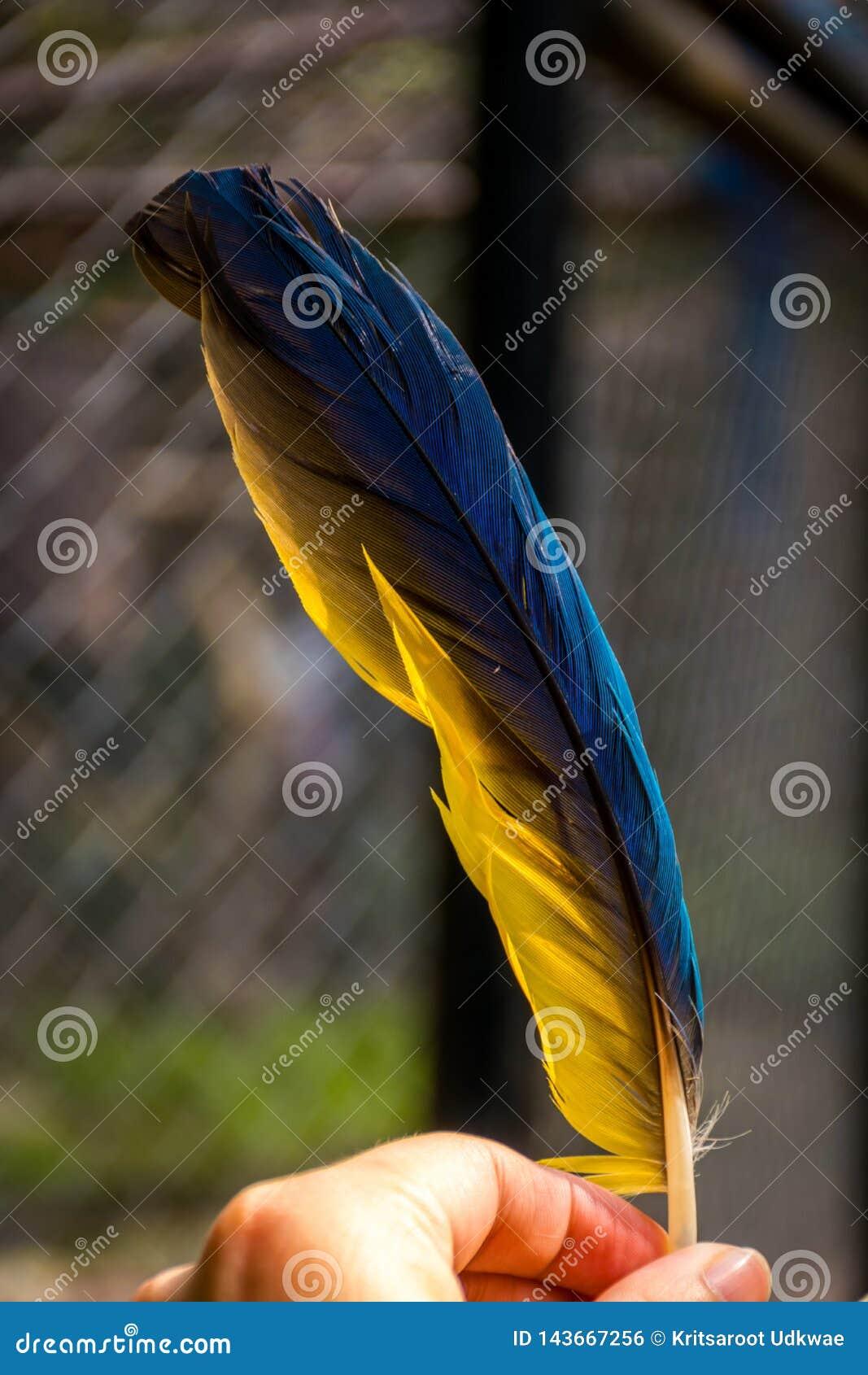 La plume du perroquet en main