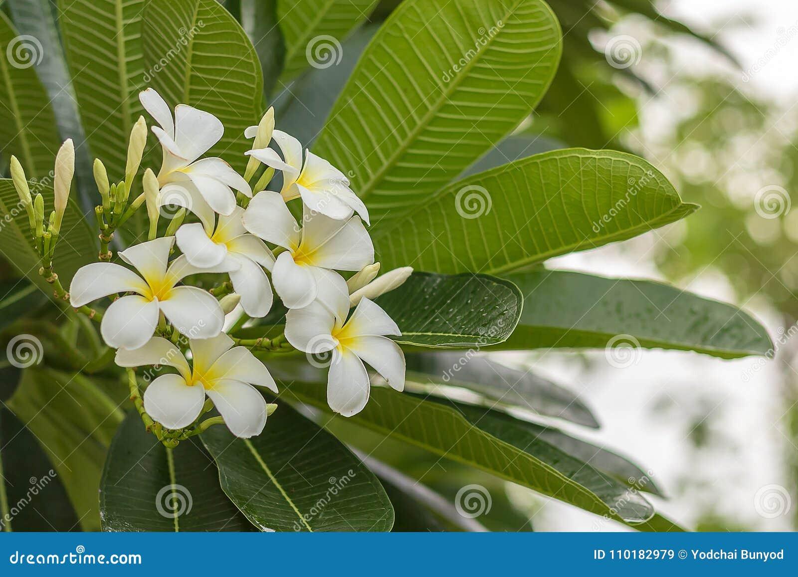 La plumeria fresca fiorisce, fragran giallo bianco delle fioriture del fiore altamente