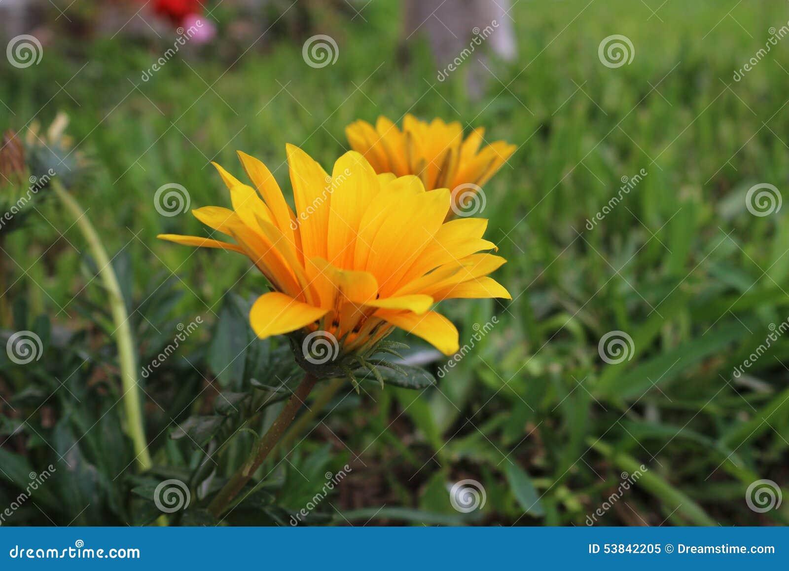 La plupart de belle fleur jaune de marguerite