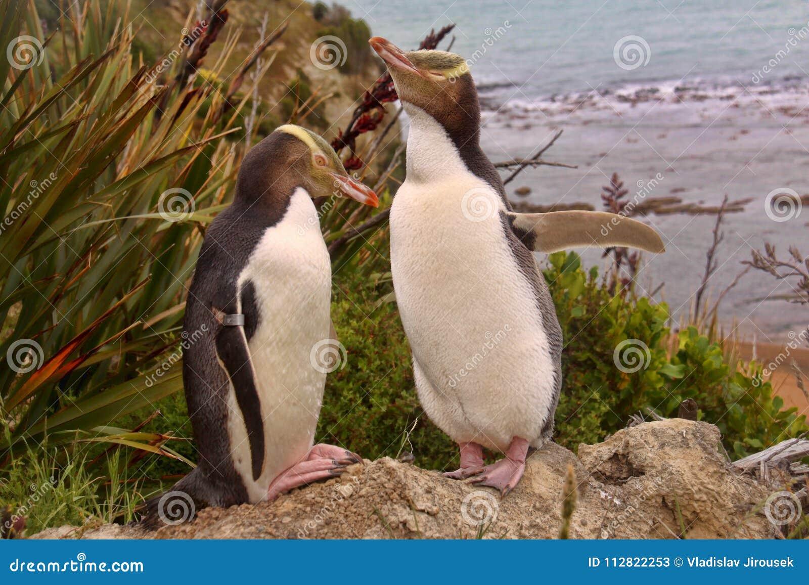 La plupart de vie précieuse de pingouin, pingouin aux yeux jaunes, antipodes de Megadyptes, Nouvelle-Zélande