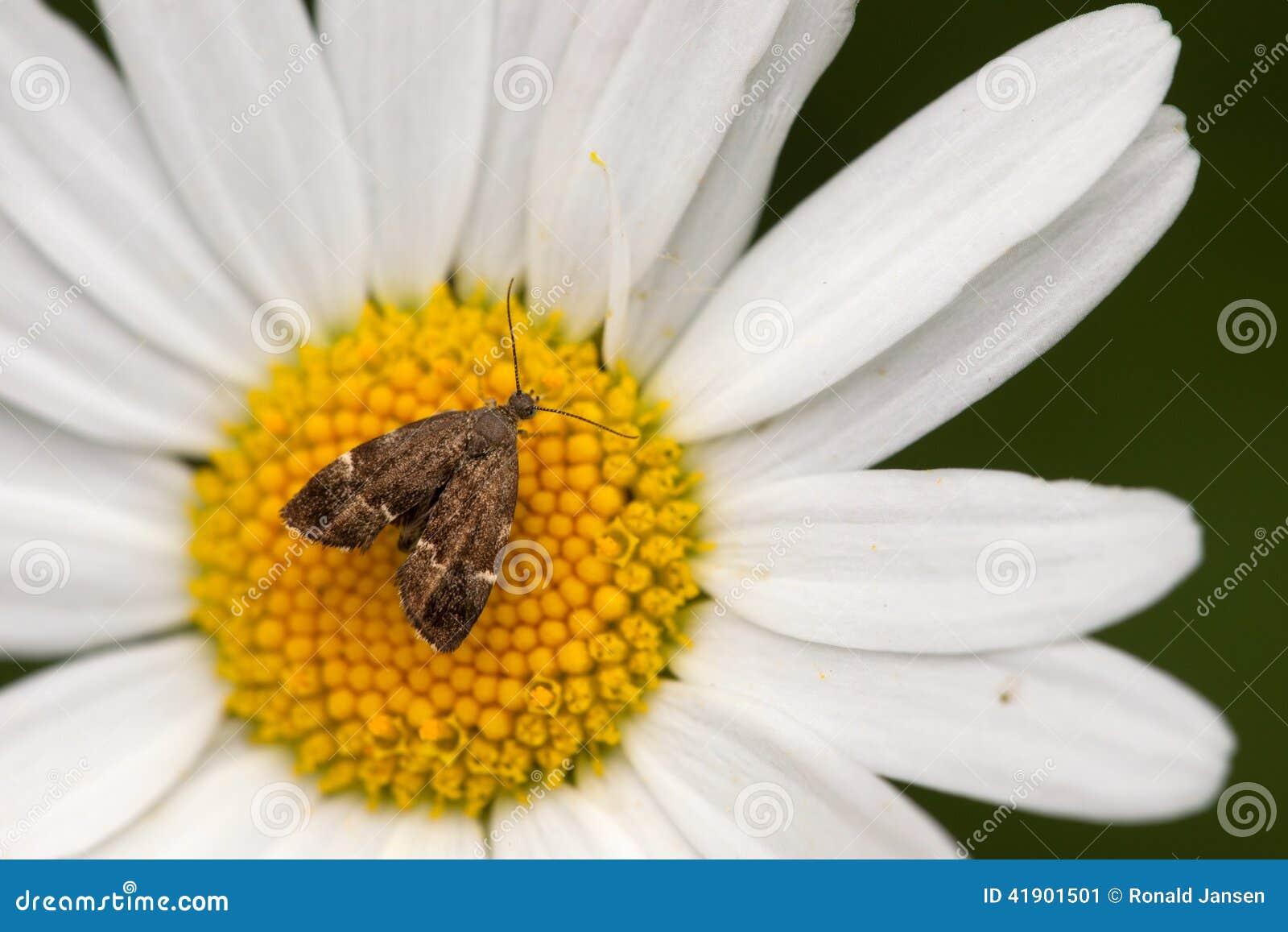 La polilla está en el cáliz de la flor en el campo Eifel de la naturaleza