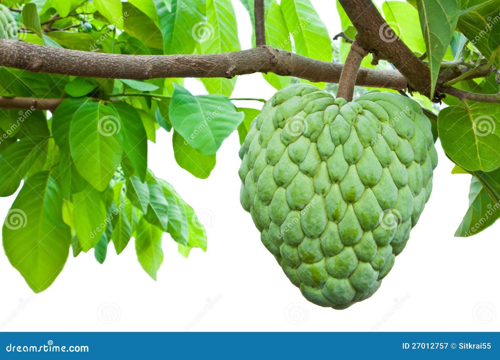 La pomme cannelle est sur l 39 arbre photographie stock libre de droits image 27012757 - Arbre de l avocat ...