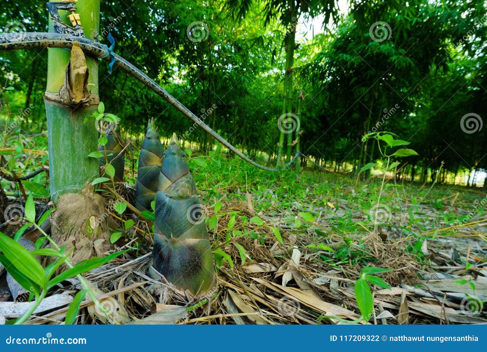 La pousse de bambou, pousses de bambou pendant la pluie assaisonnent