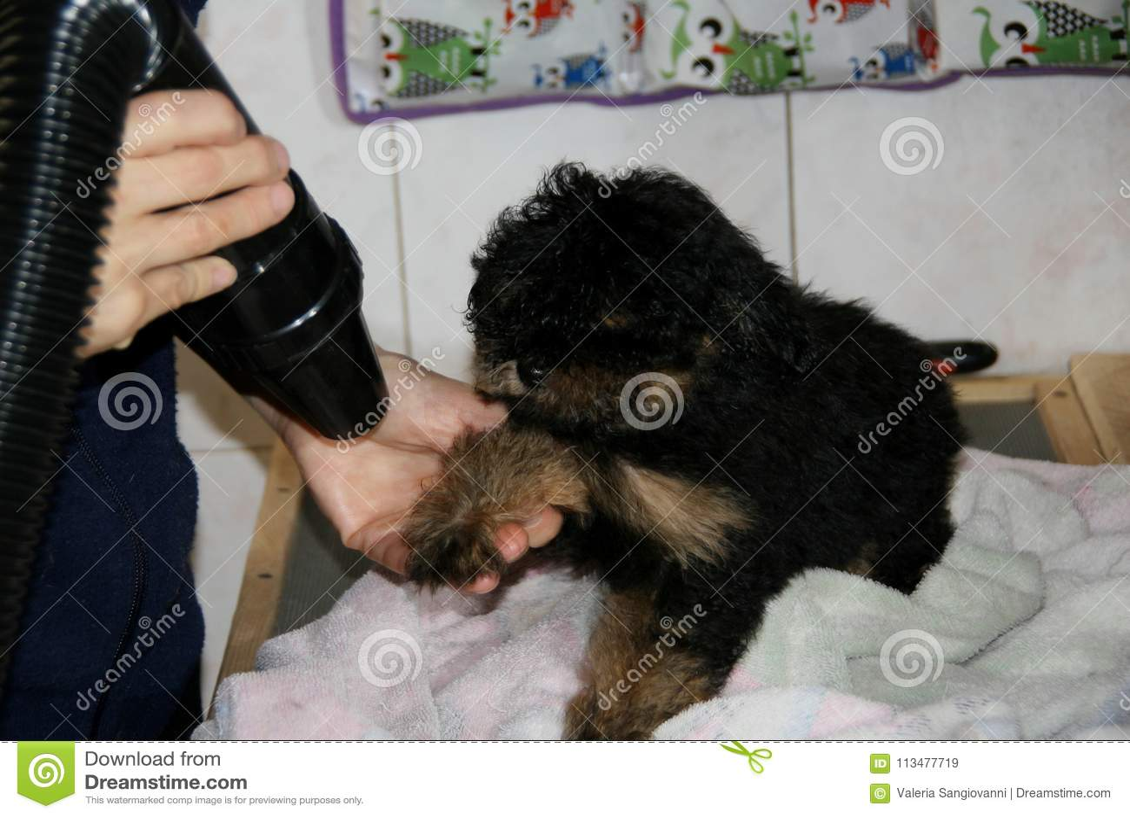 La preparación del perro de perrito
