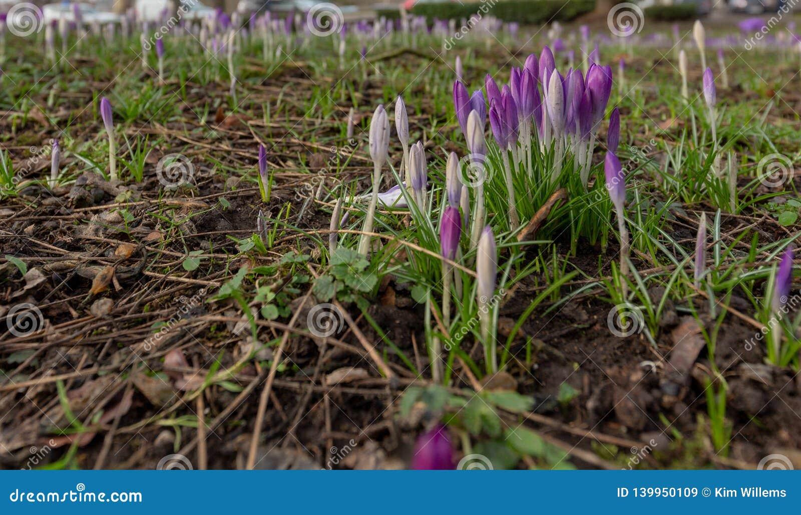 La primavera è indietro con i nuovi fiori della lampadina che escono