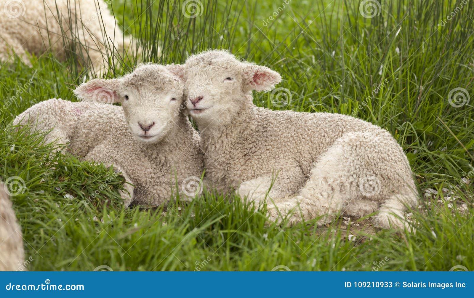 La primavera borrosa mimosa linda de los animales del bebé pare el snugg de los hermanos de las ovejas